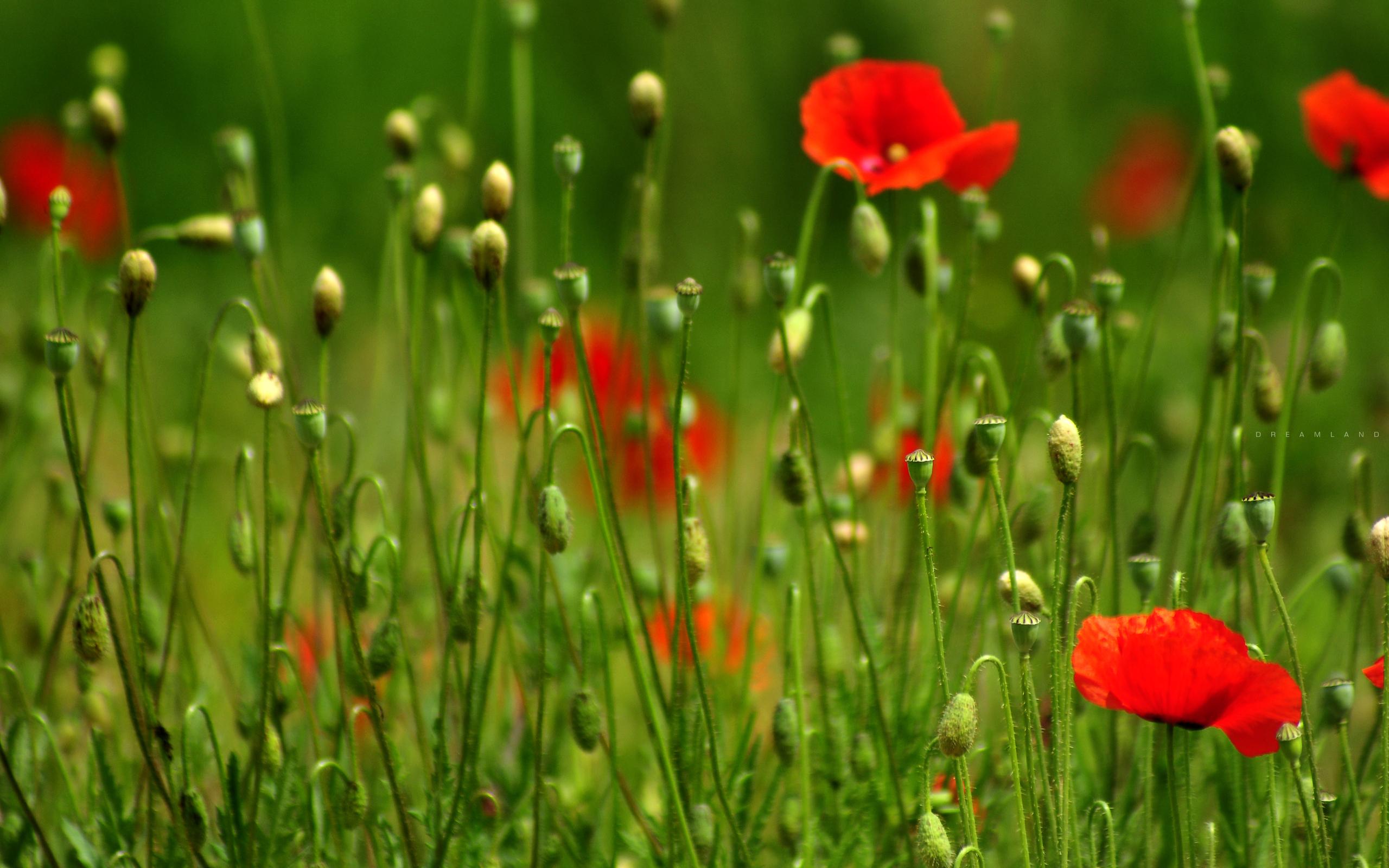 поле маки цветы  № 1877261 бесплатно