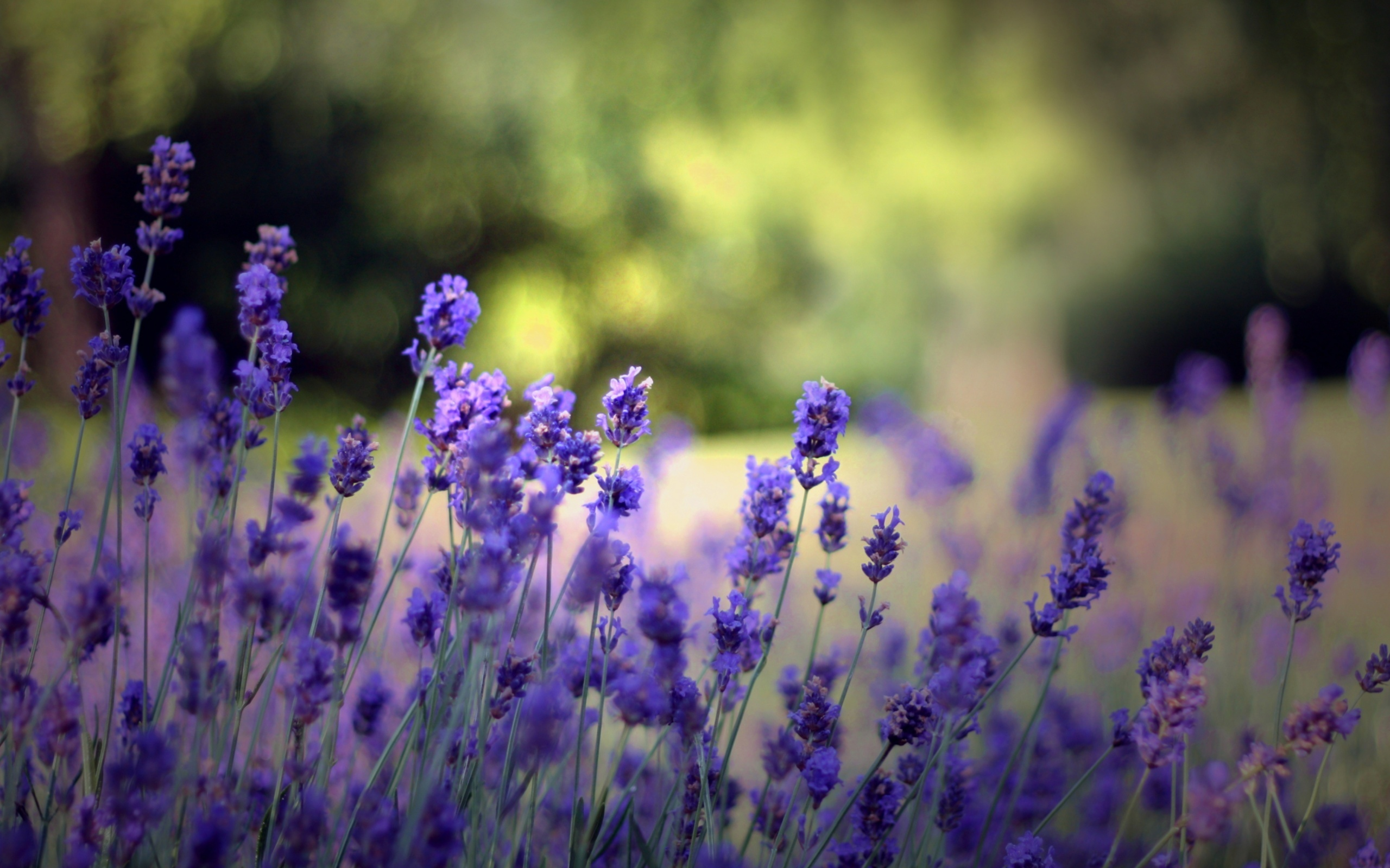 Цветы природа лаванда  № 1352067 без смс