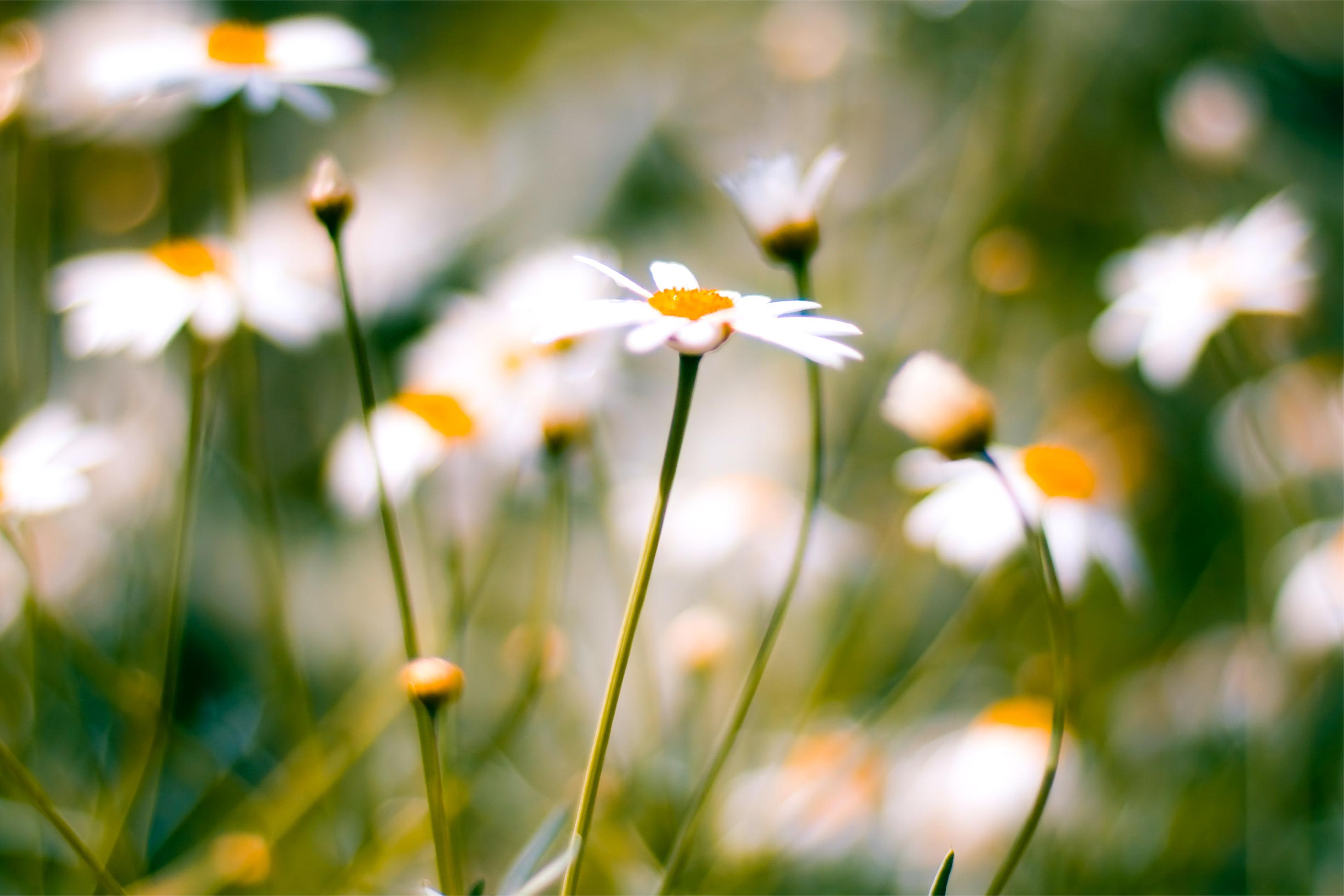 ромашка макро цветы бесплатно