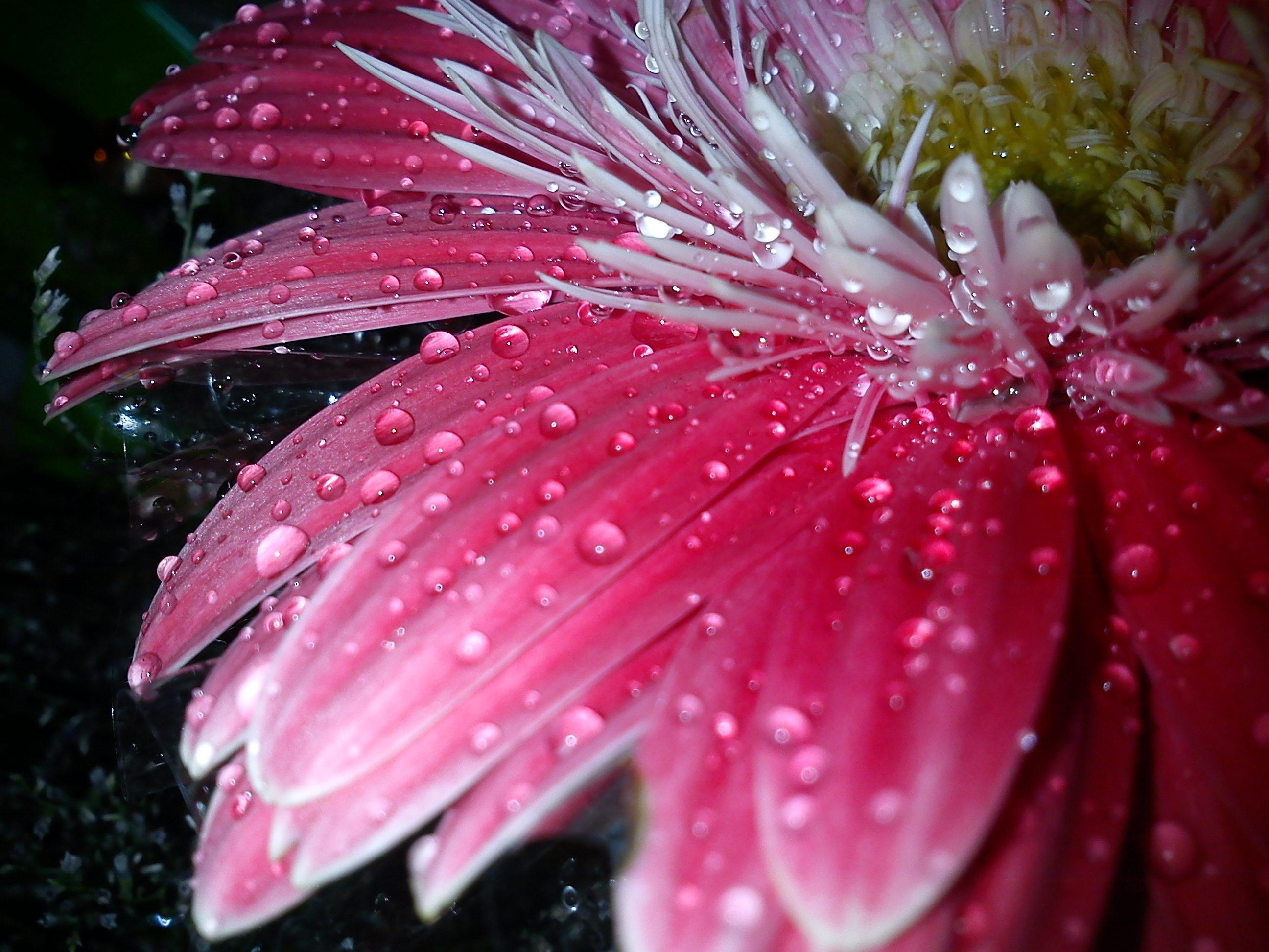 декоративный сорт, фото цветов с каплями росы вот, тем менее
