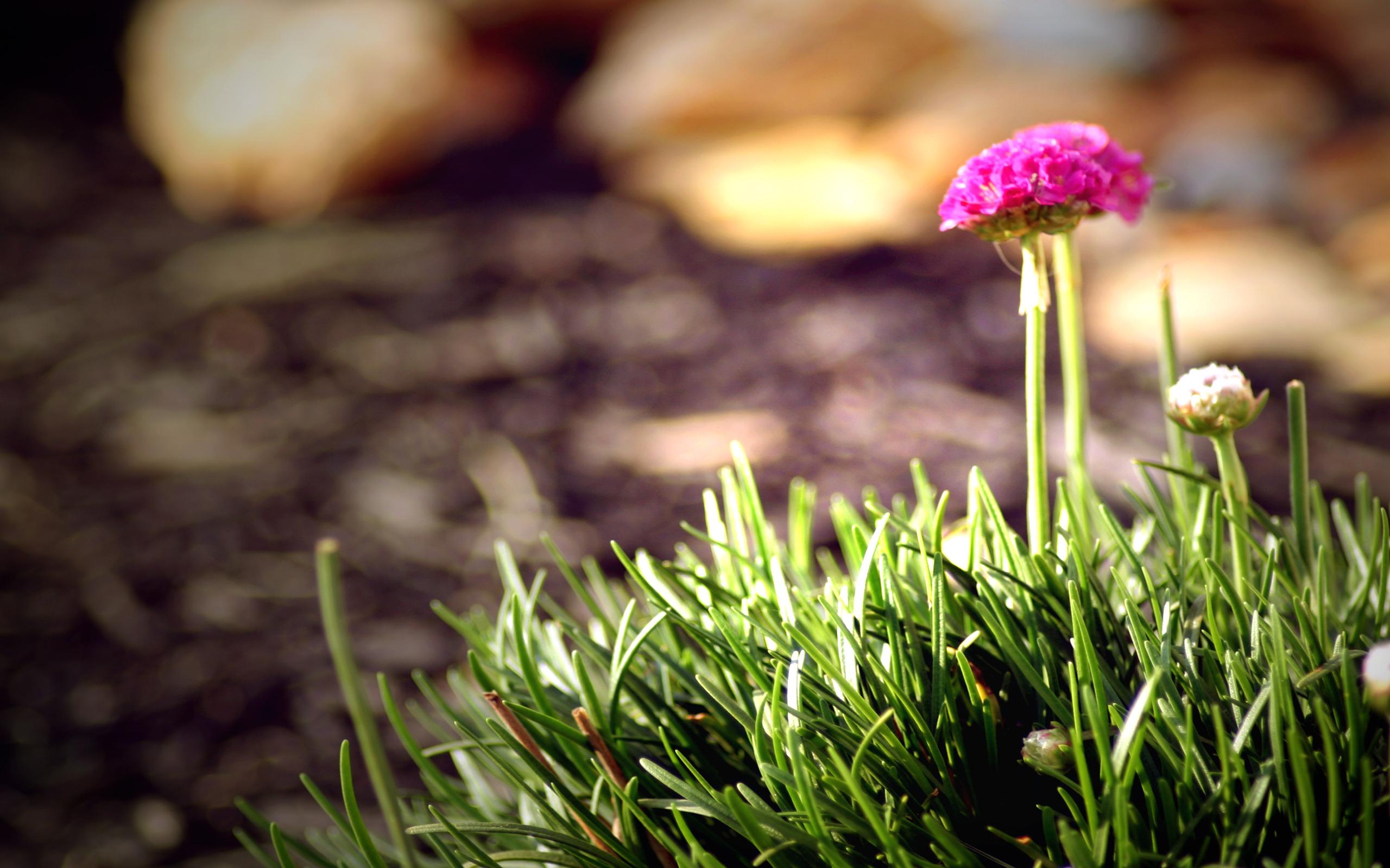 Цветы клевер  № 1341224 загрузить