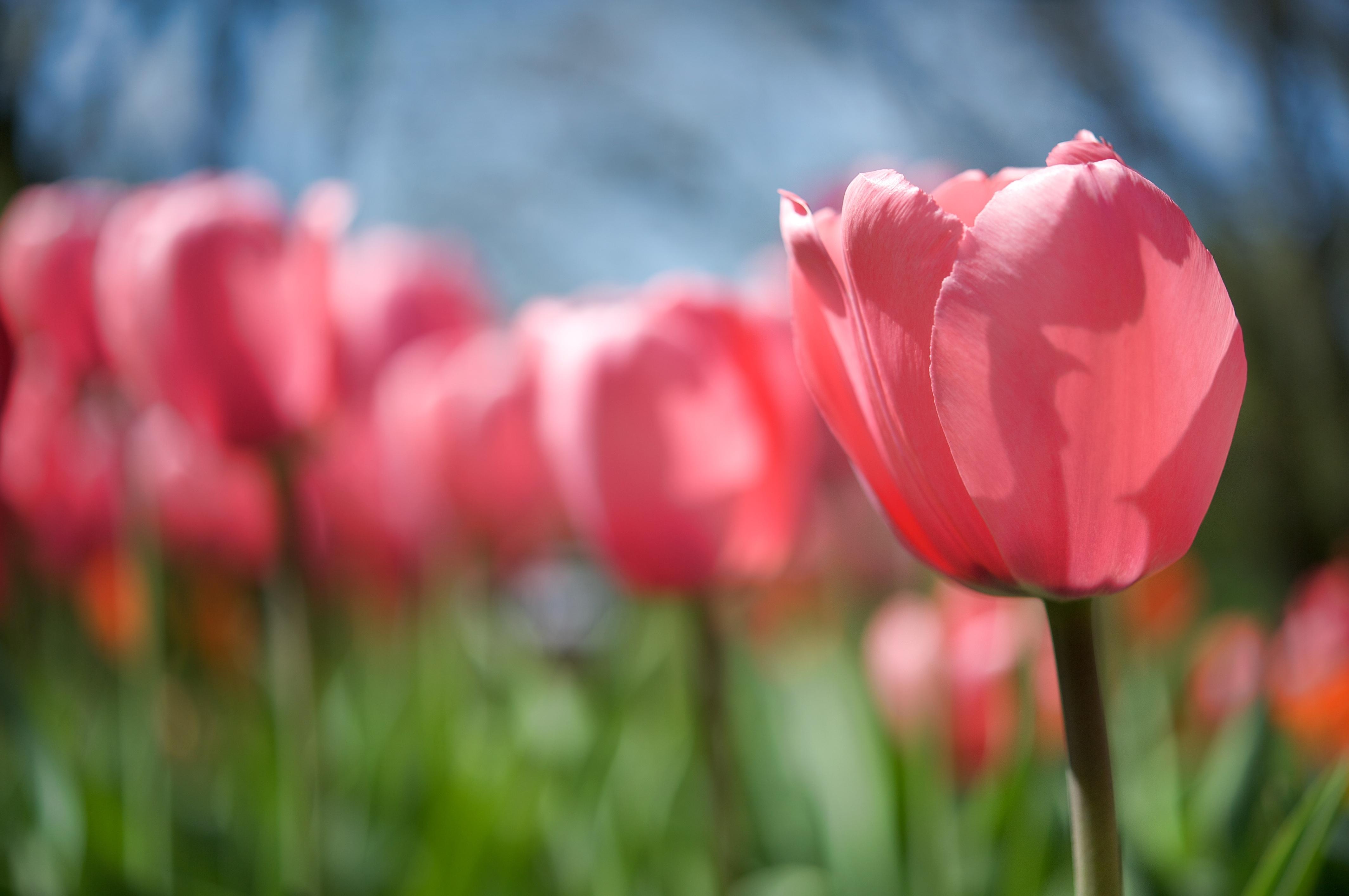 макро цветы красные природа тюльпаны  № 3286286 загрузить