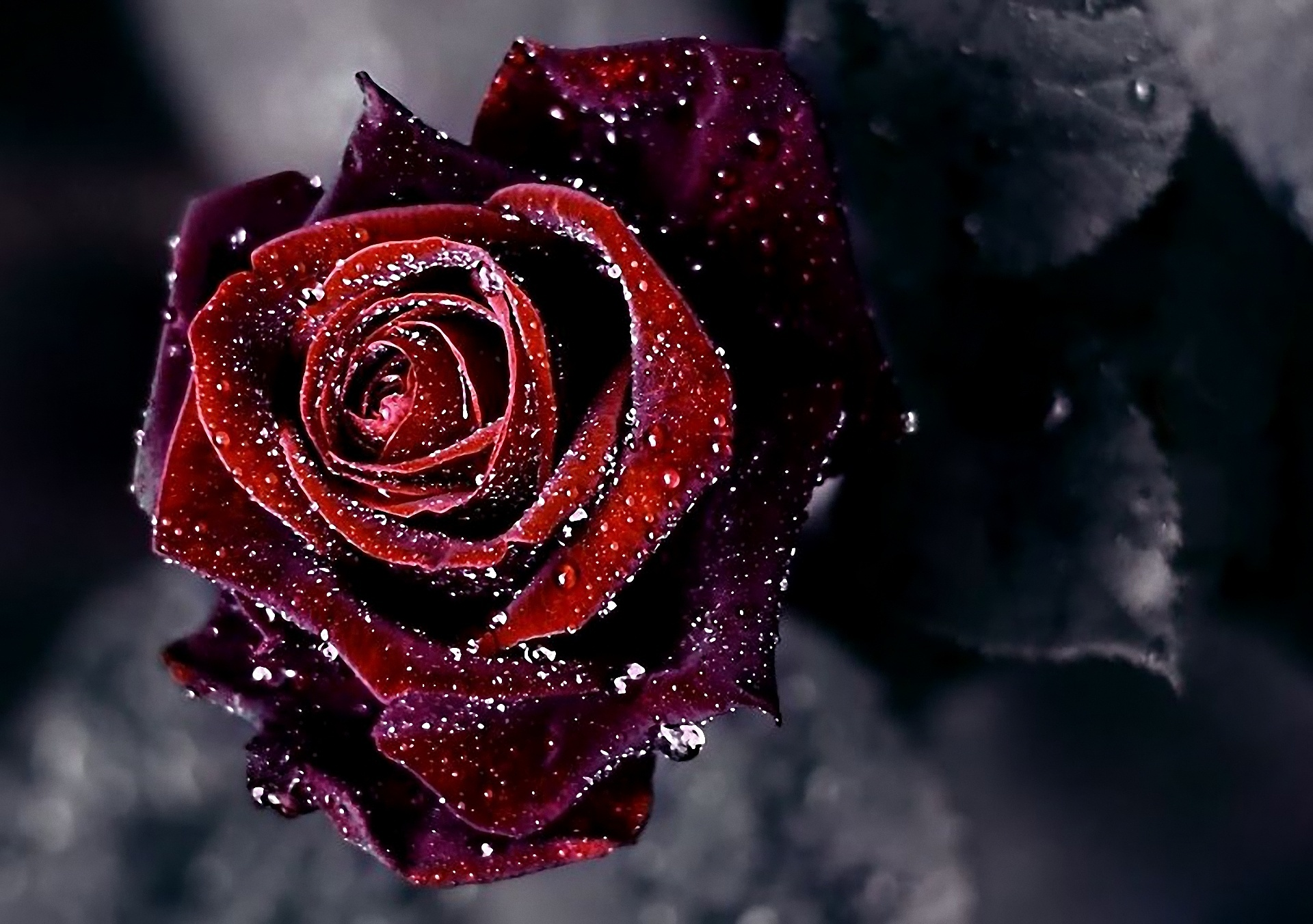 Роза  № 1599365 бесплатно