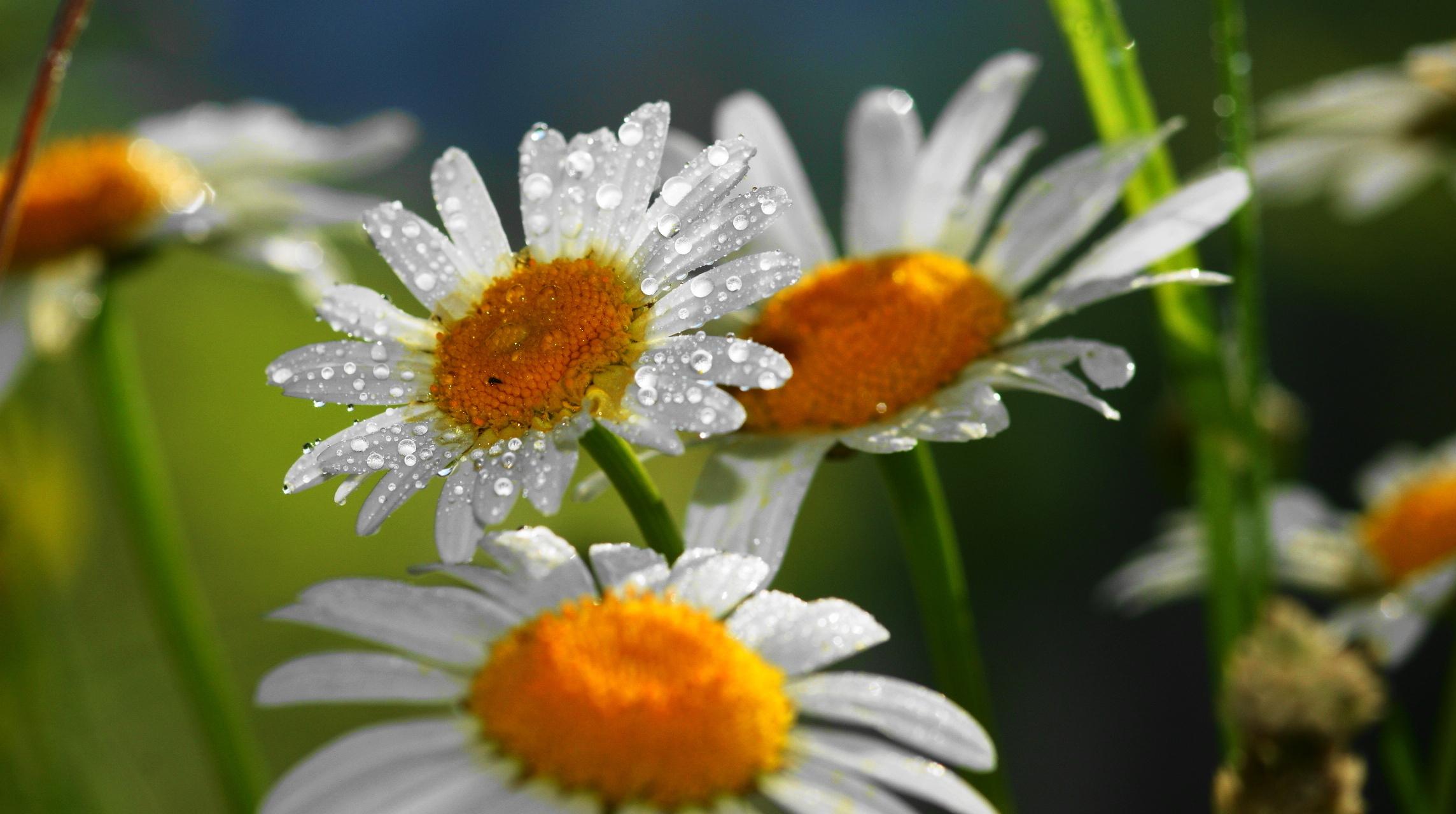 цветы ромашки блики скачать