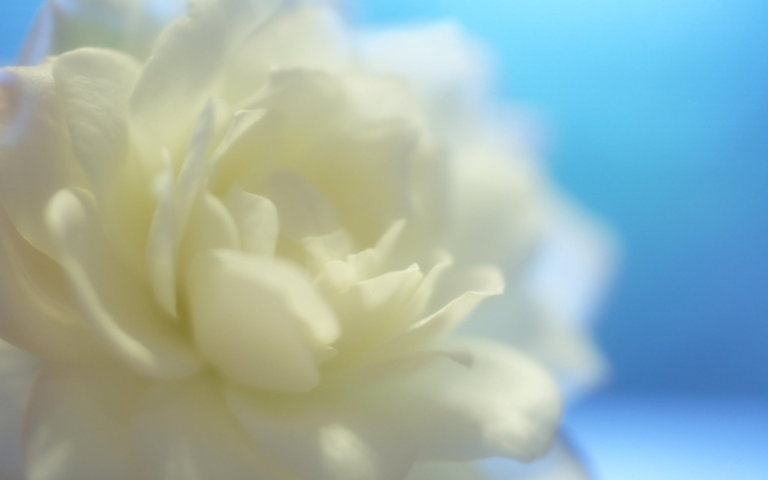 белый цветочек бесплатно