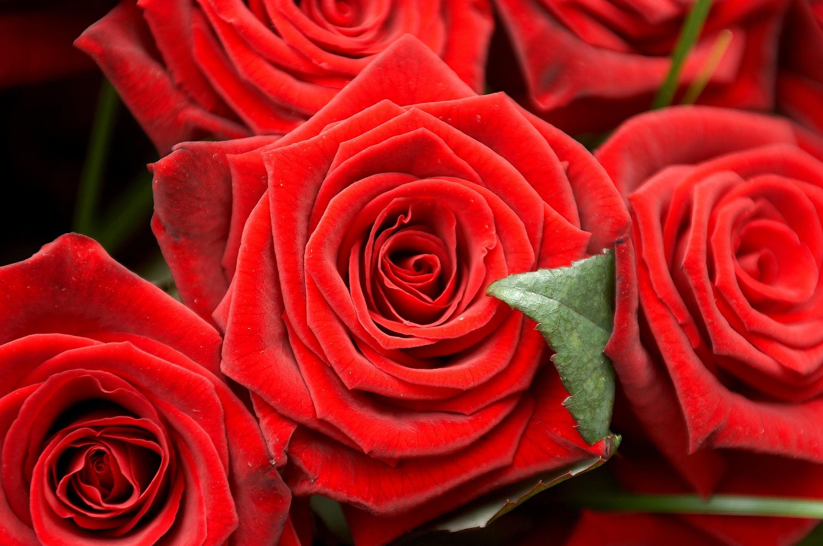 Розы картинки на рабочий стол