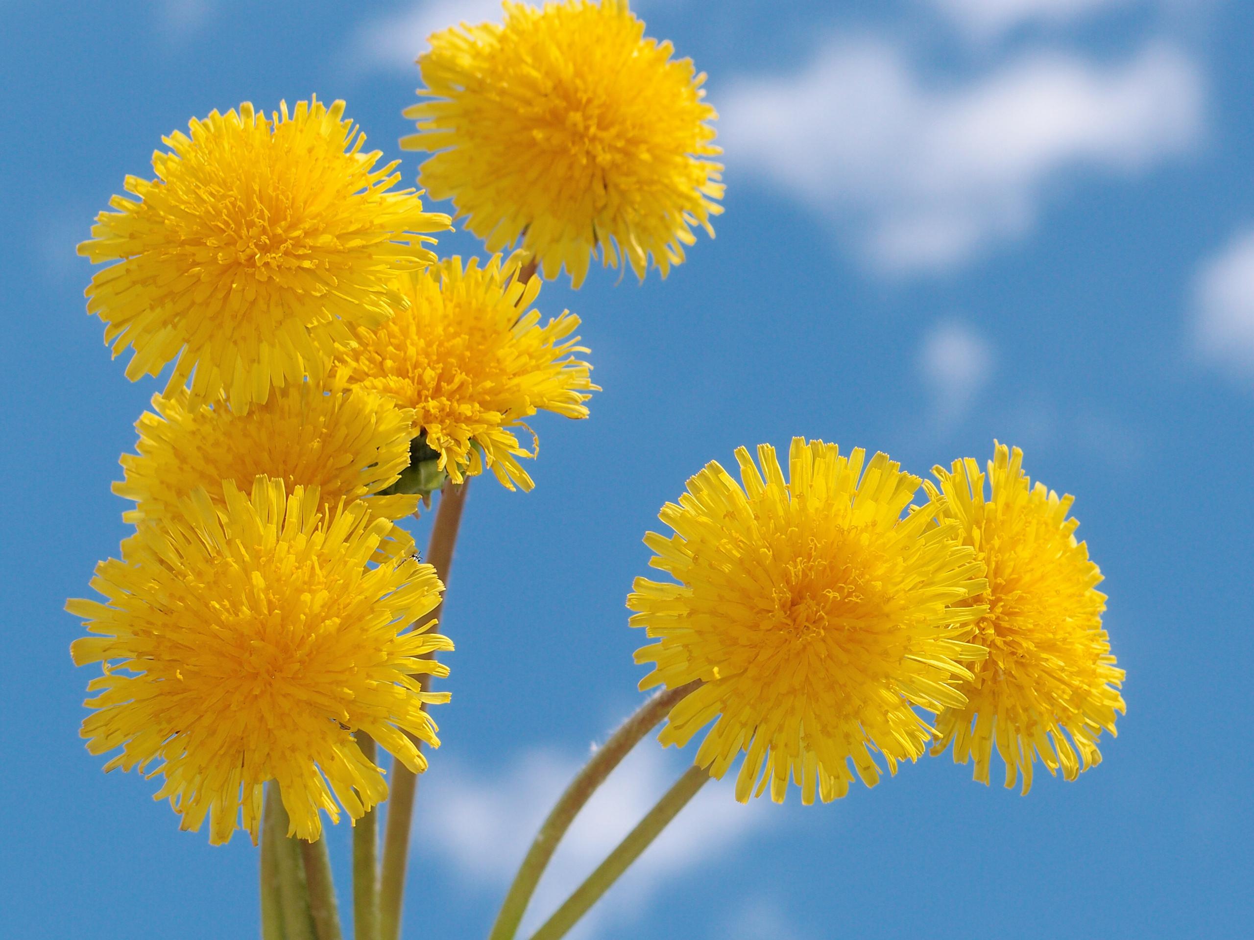 желтые цветы бесплатно