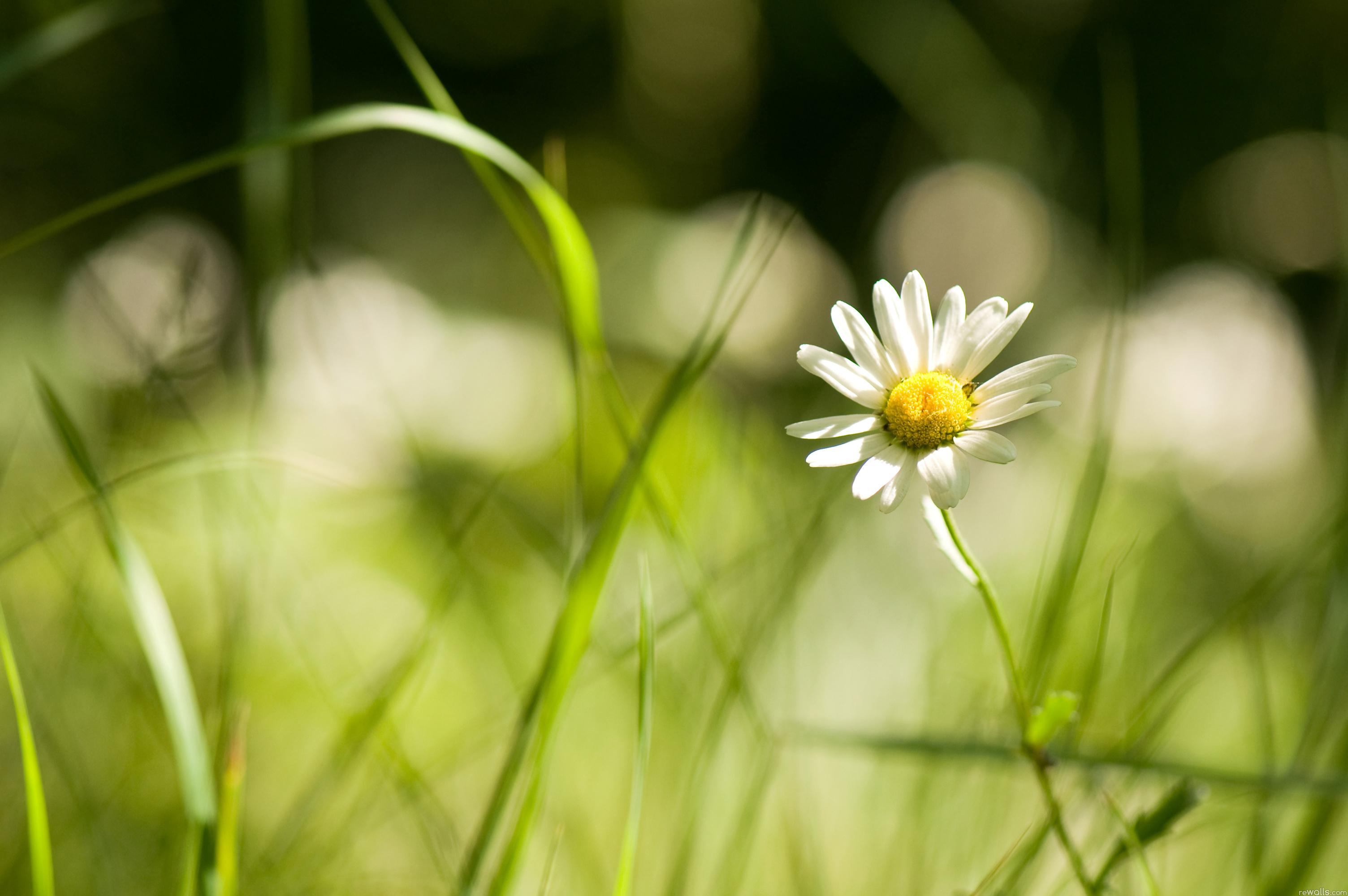 красные цветы трава ромашки природа  № 3836476 без смс