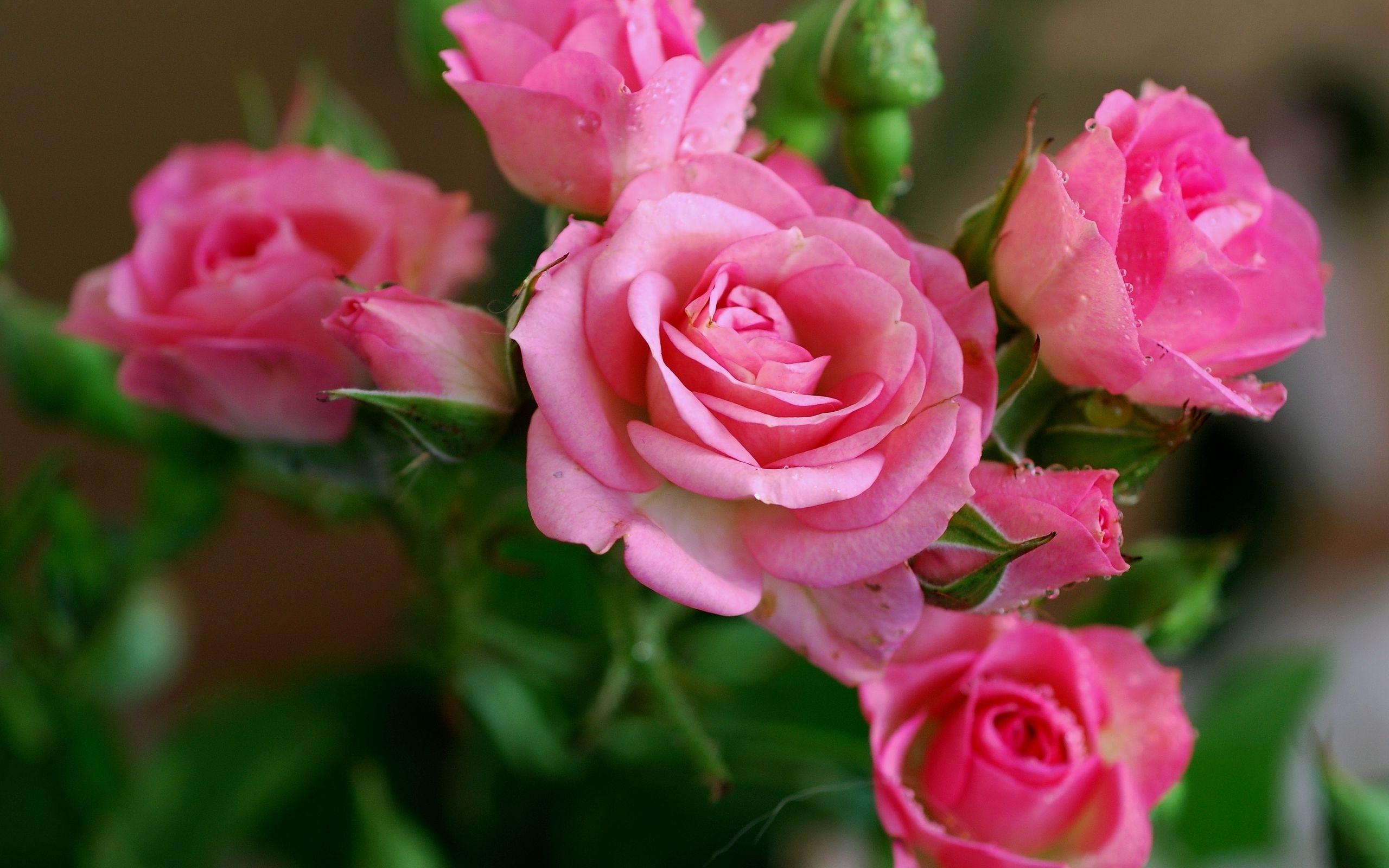 Розовая роза загрузить