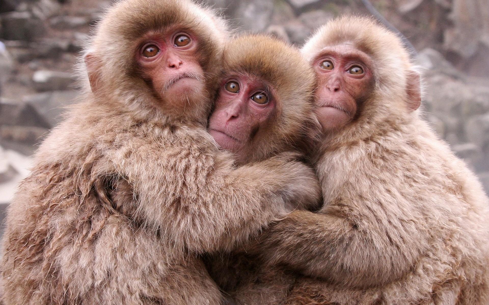 Андроида для, обезьянки картинки прикольные три