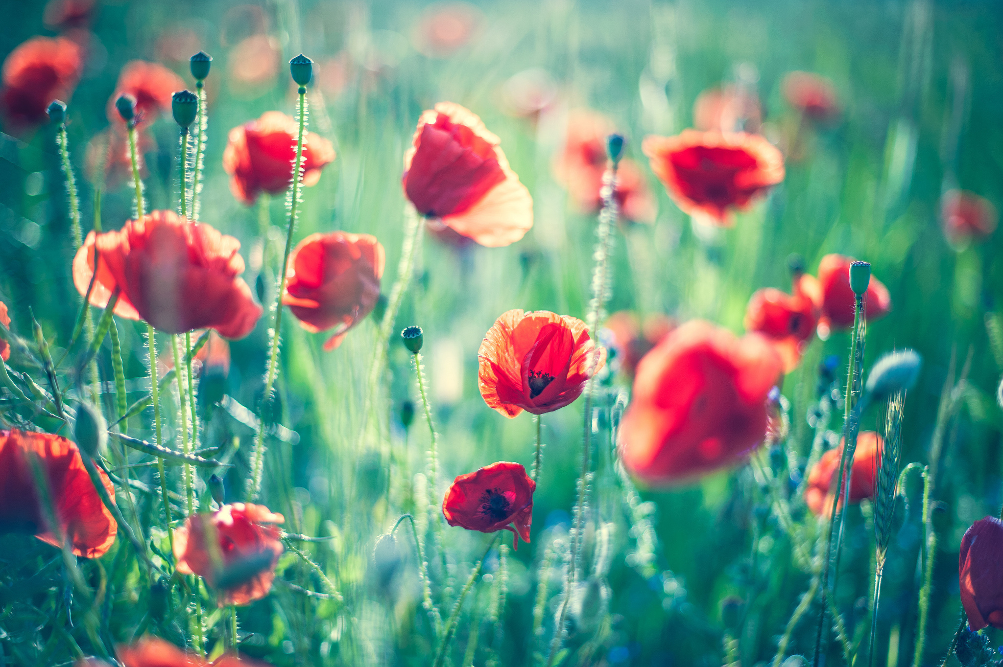 поле маки цветы бесплатно