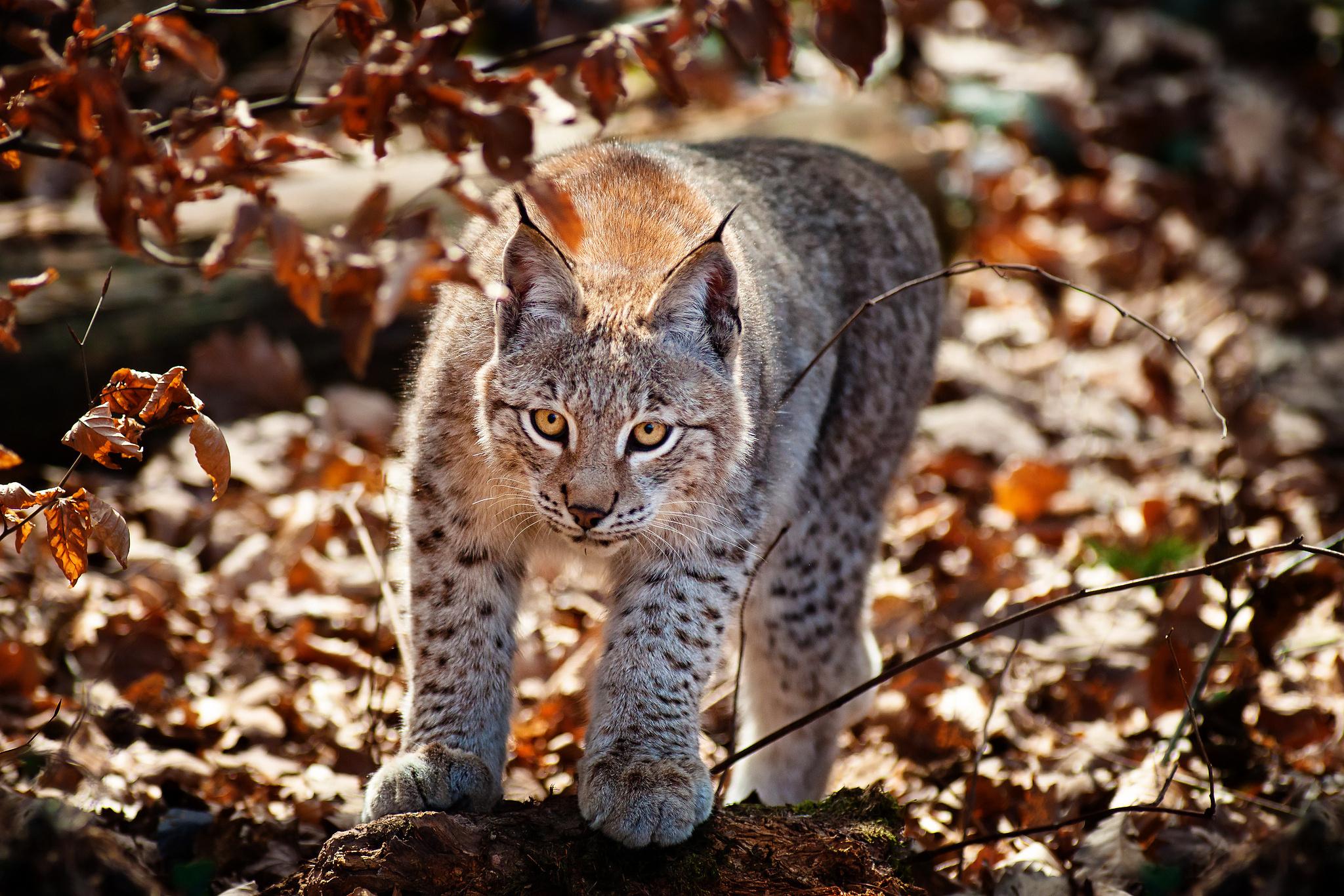 Самые лучшие фото диких кошек