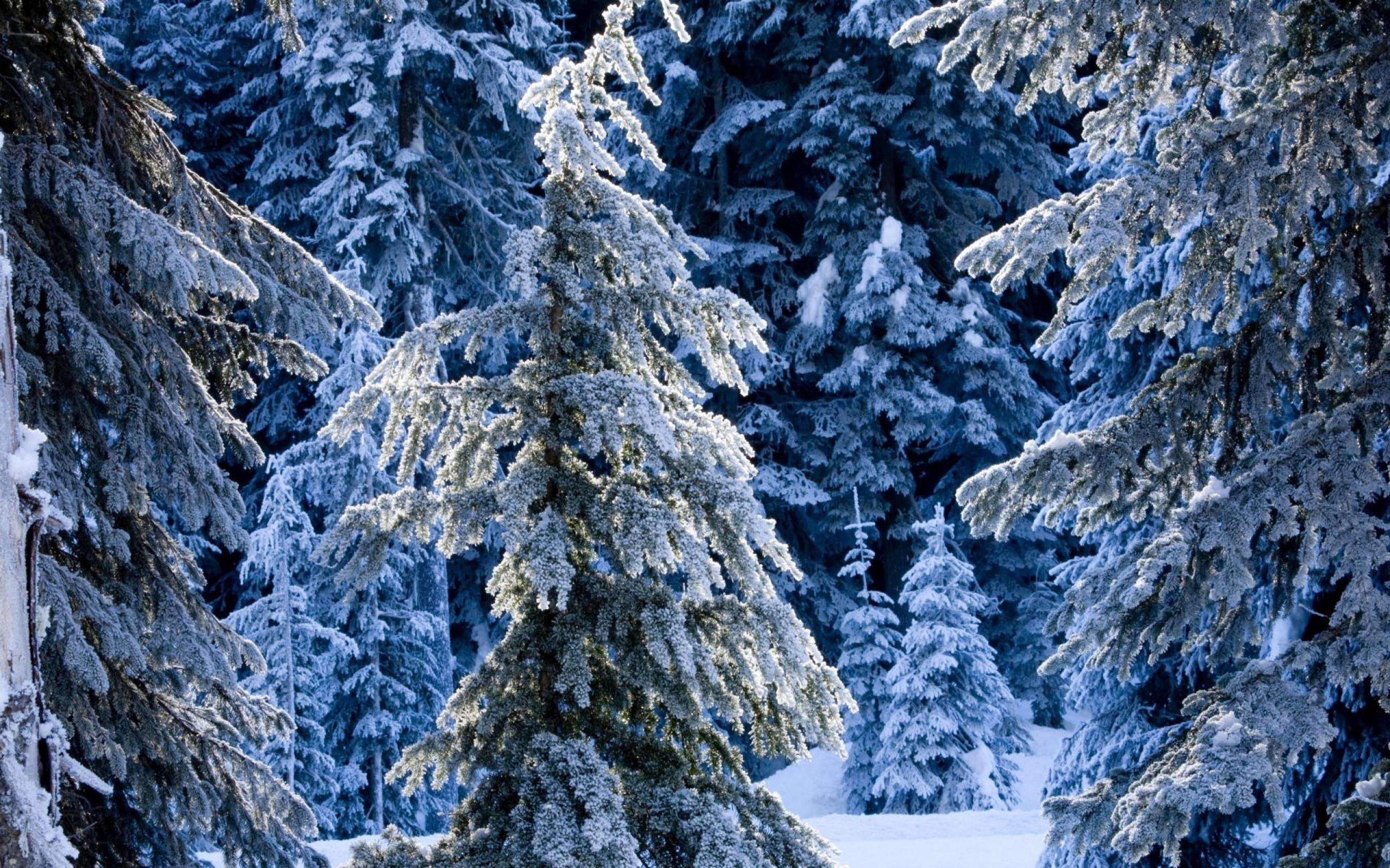 природа снег ели лес зима загрузить