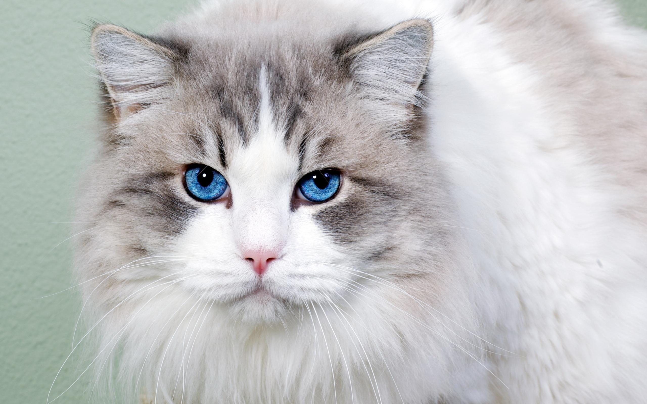 Голубоглазые кота  № 3010586 загрузить