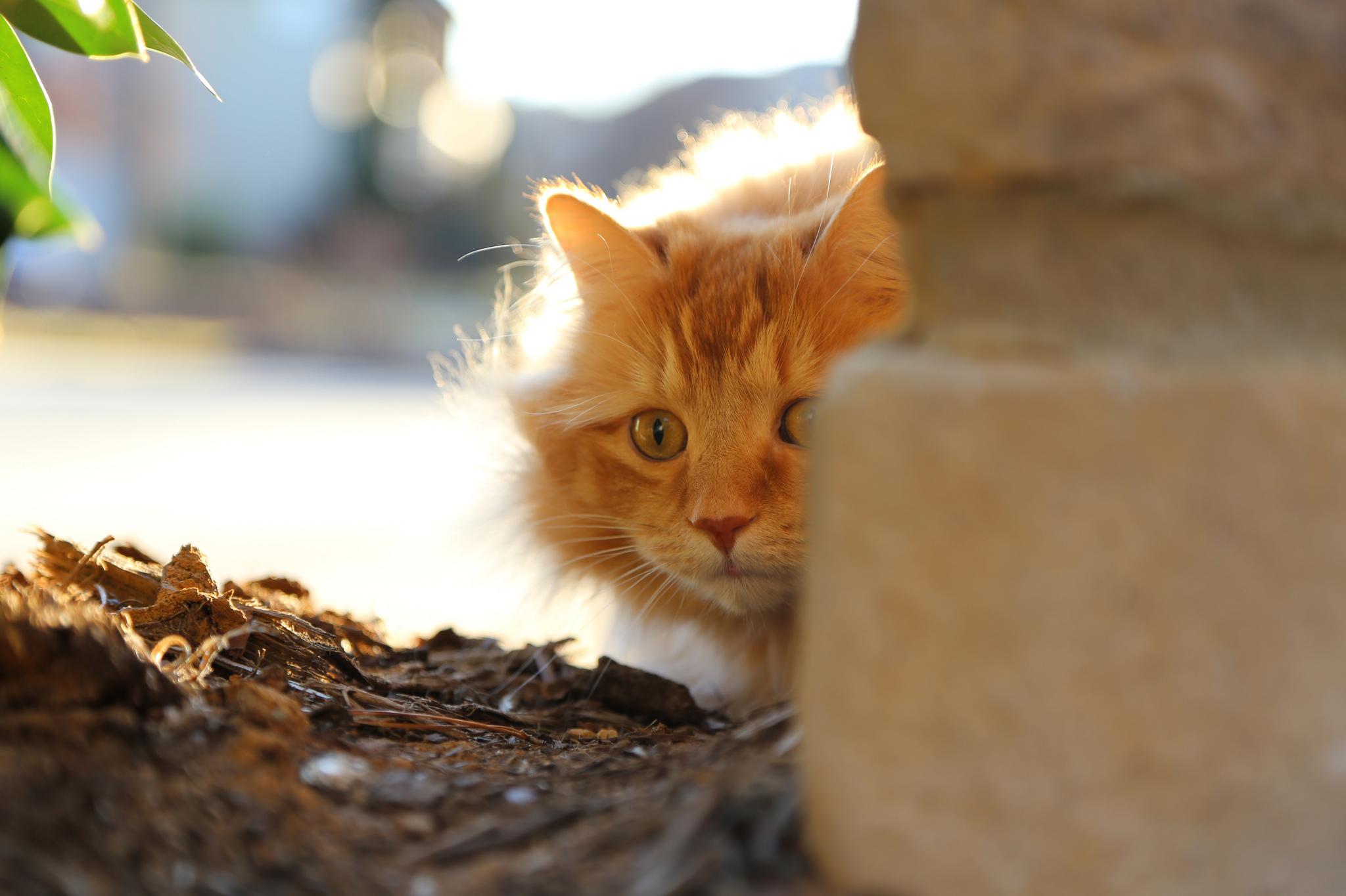Выглядывающий из-за дивана кот без смс