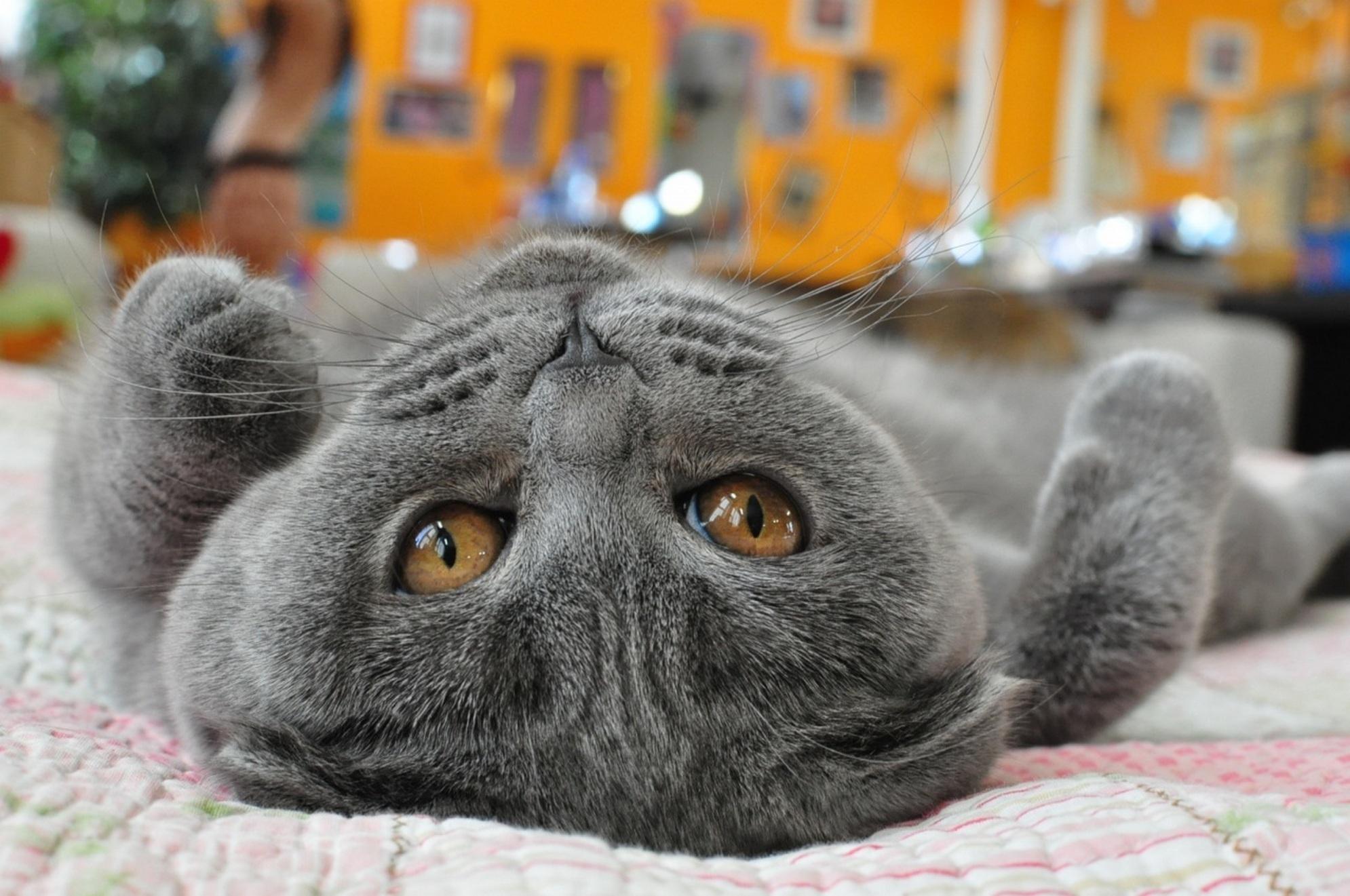 Года картинки, британский кот картинки приколы