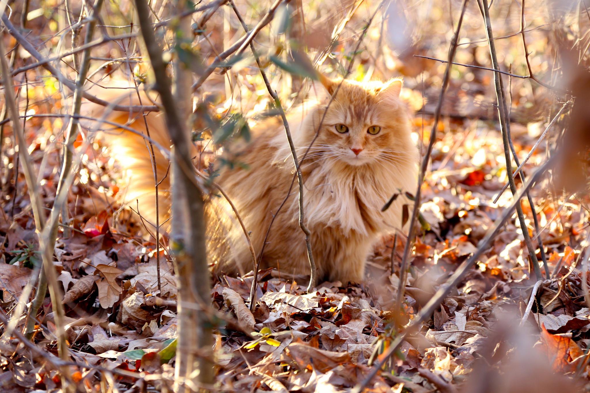 кошка осень листва  № 3898491  скачать