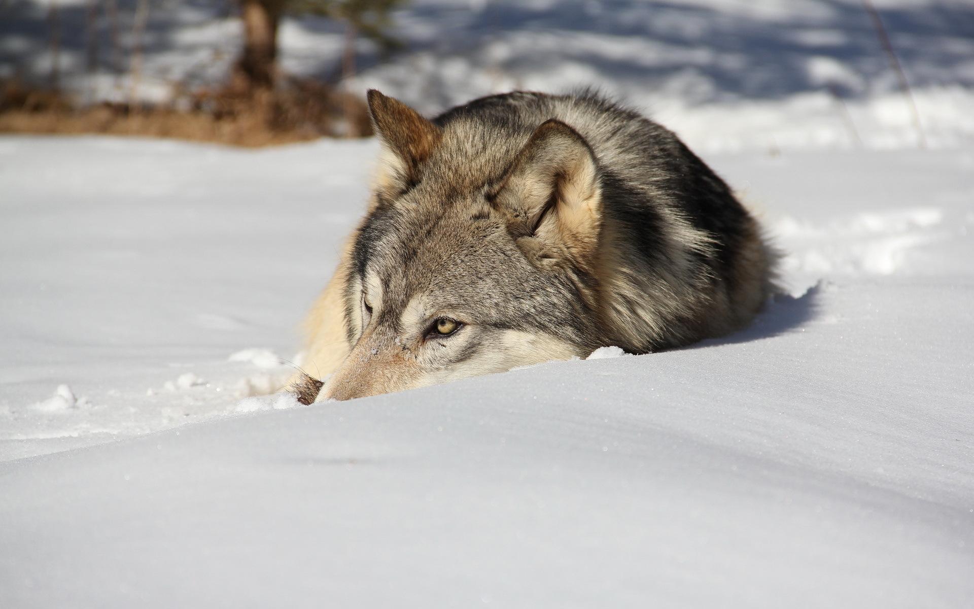 Обои лежит, на снегу, Хищник. Животные foto 18