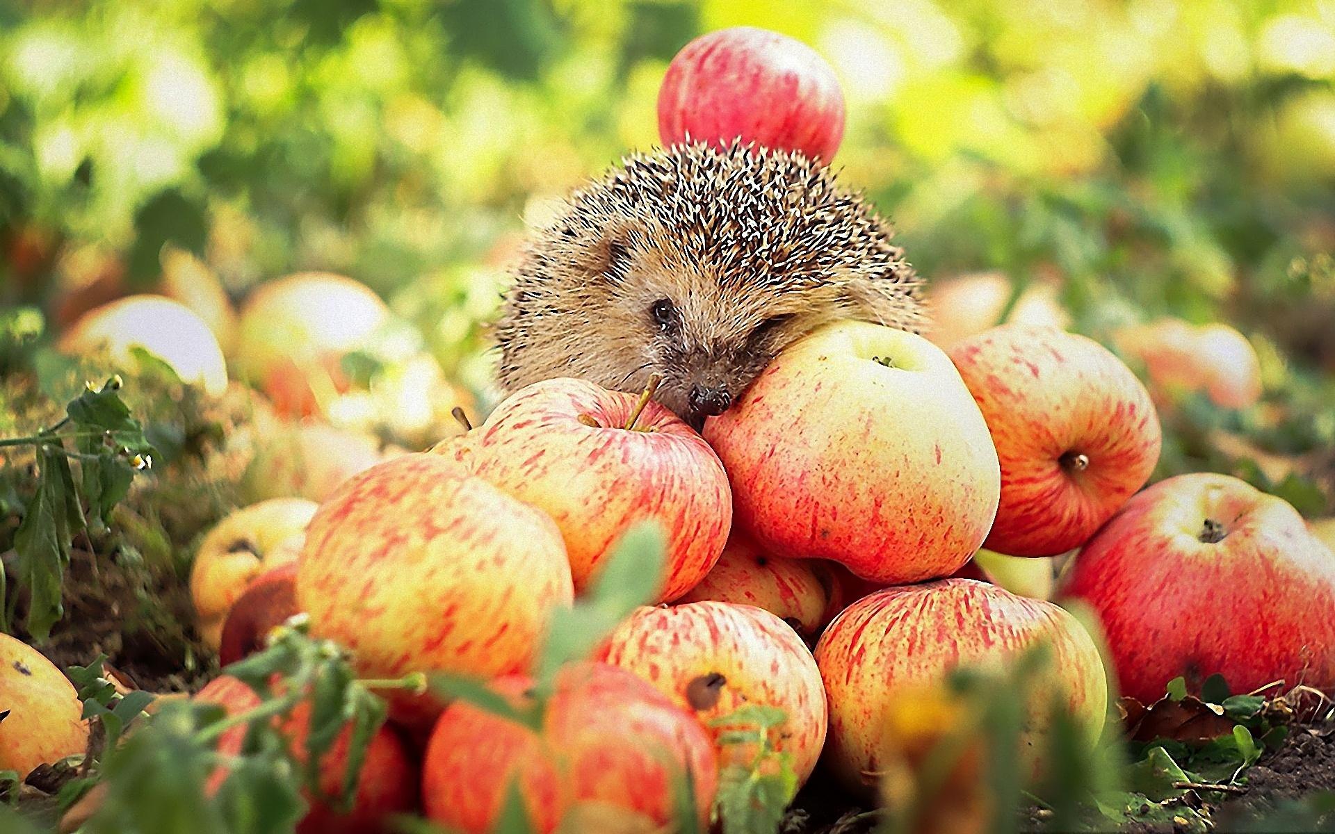 красивые осенние картинки с яблоками ему дембель