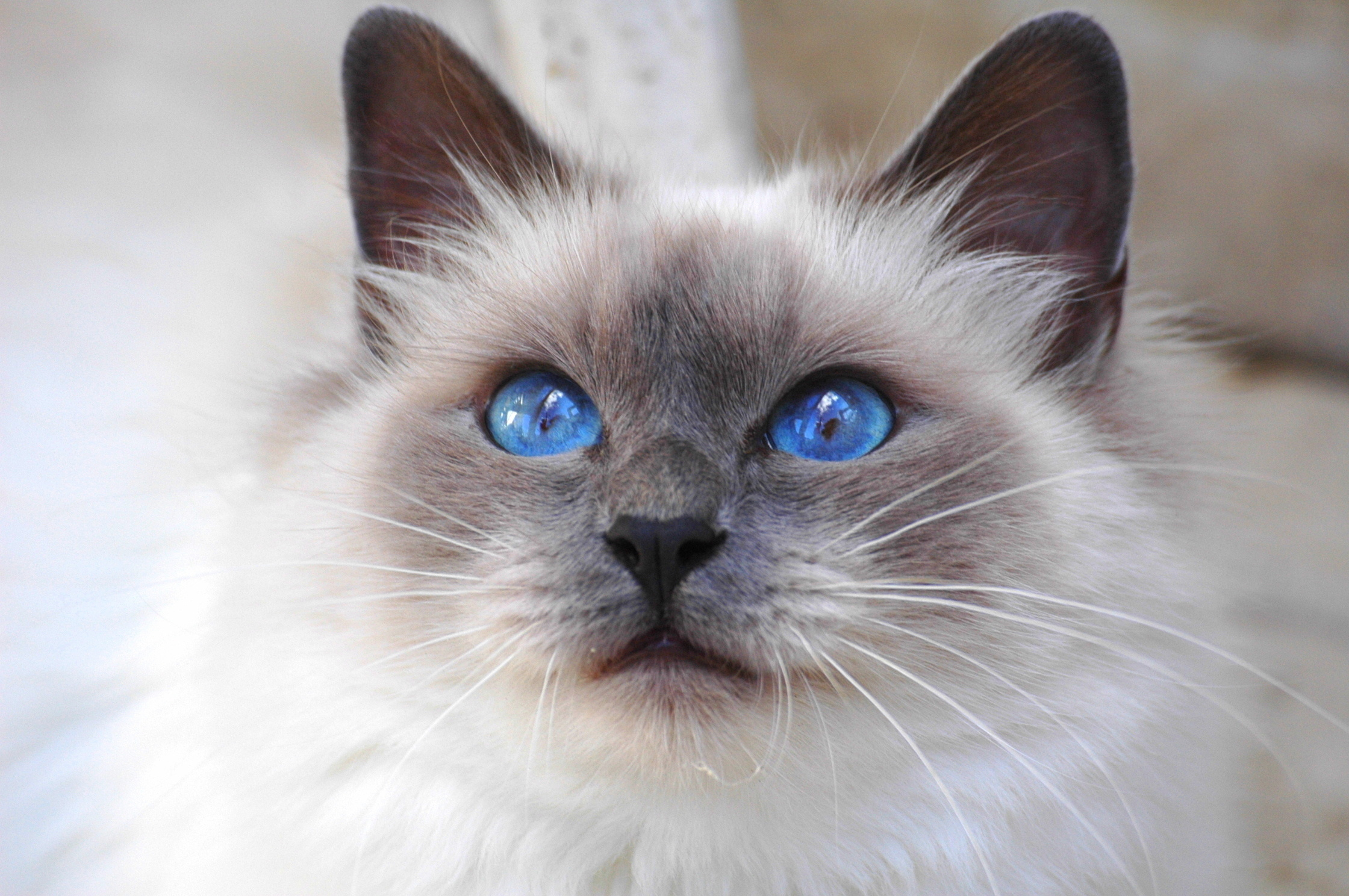 Голубоглазые кота  № 3010578 загрузить