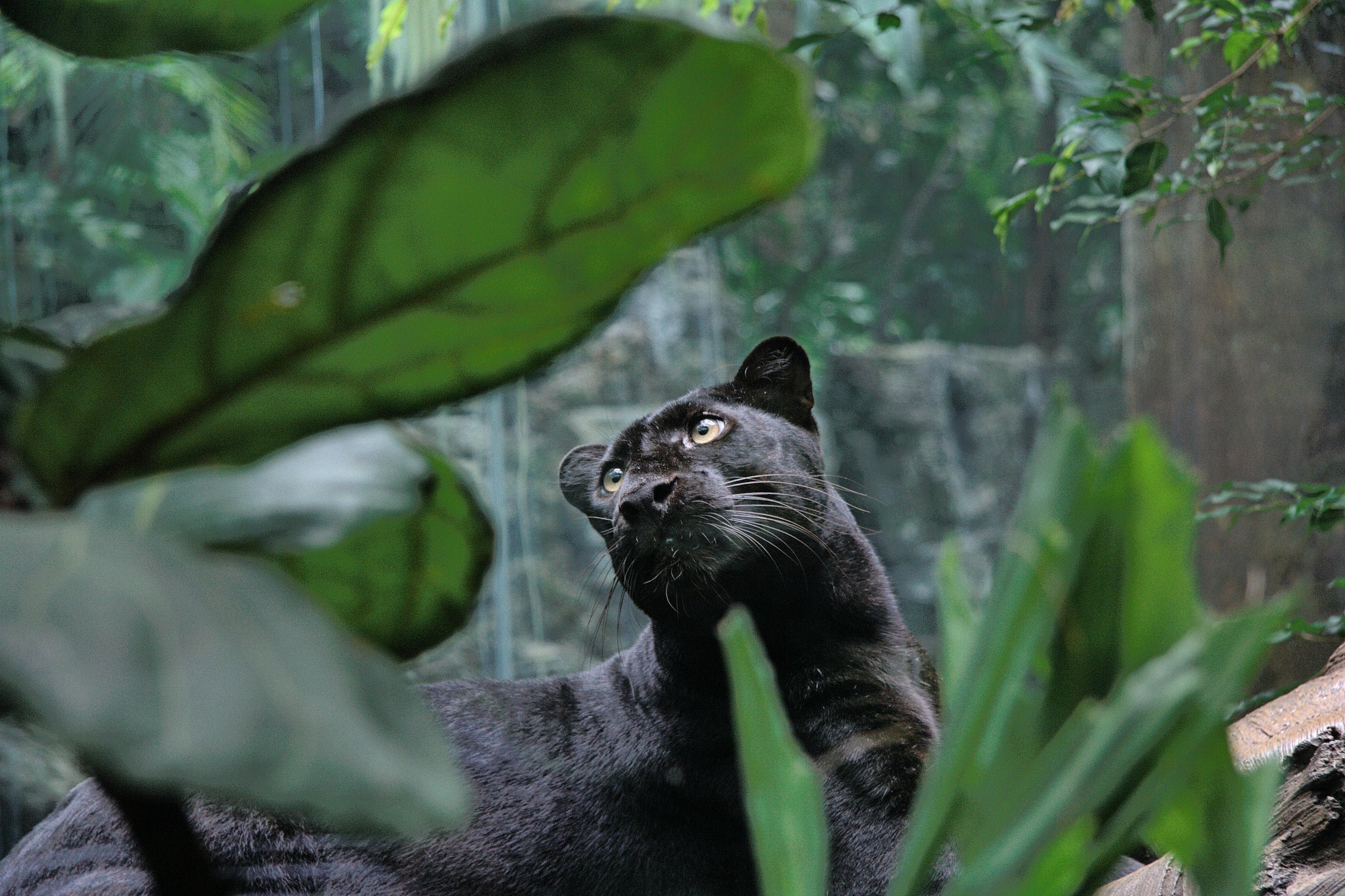 природа животные деревья пантера без смс