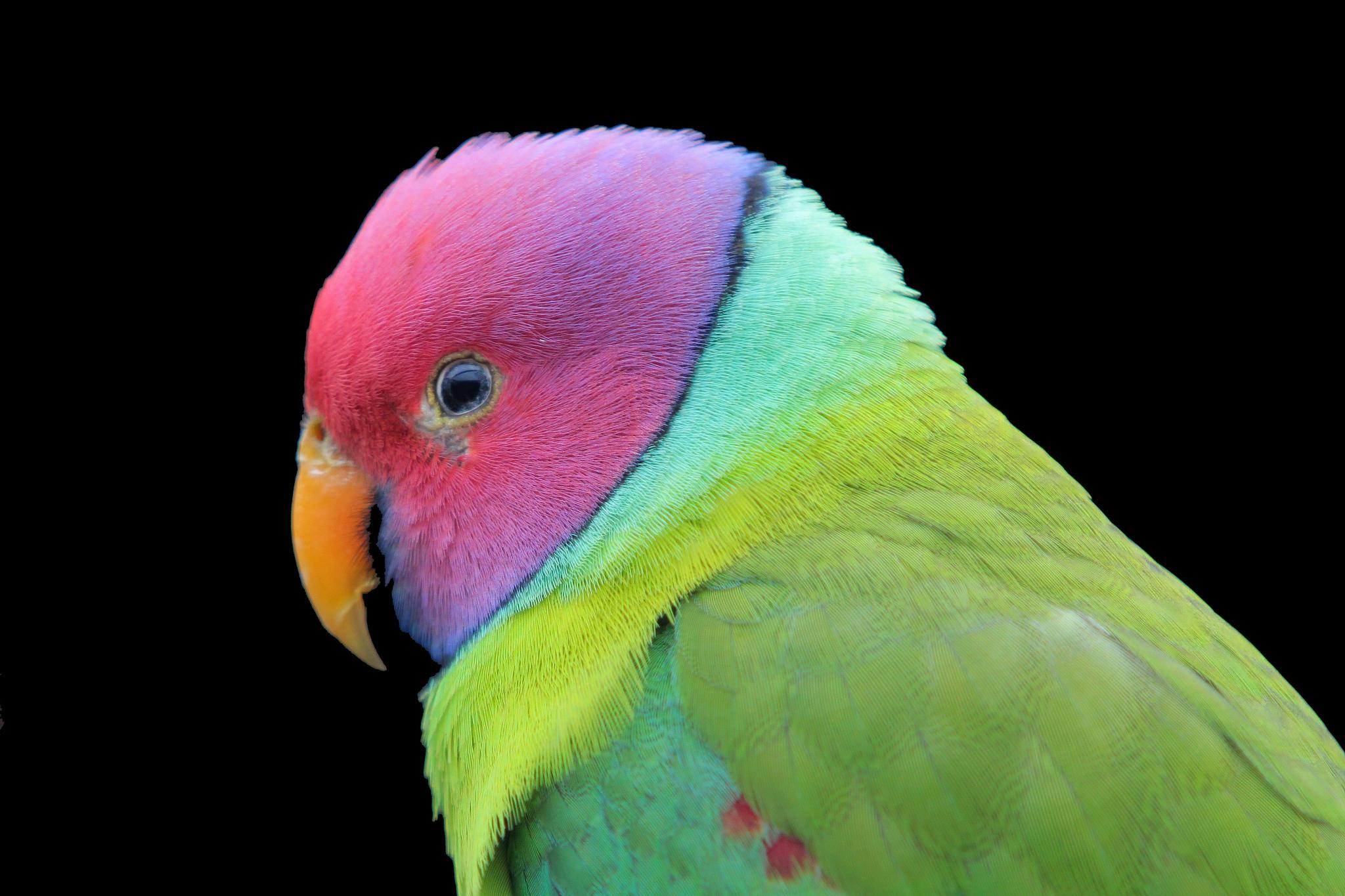 Красный попугай без смс