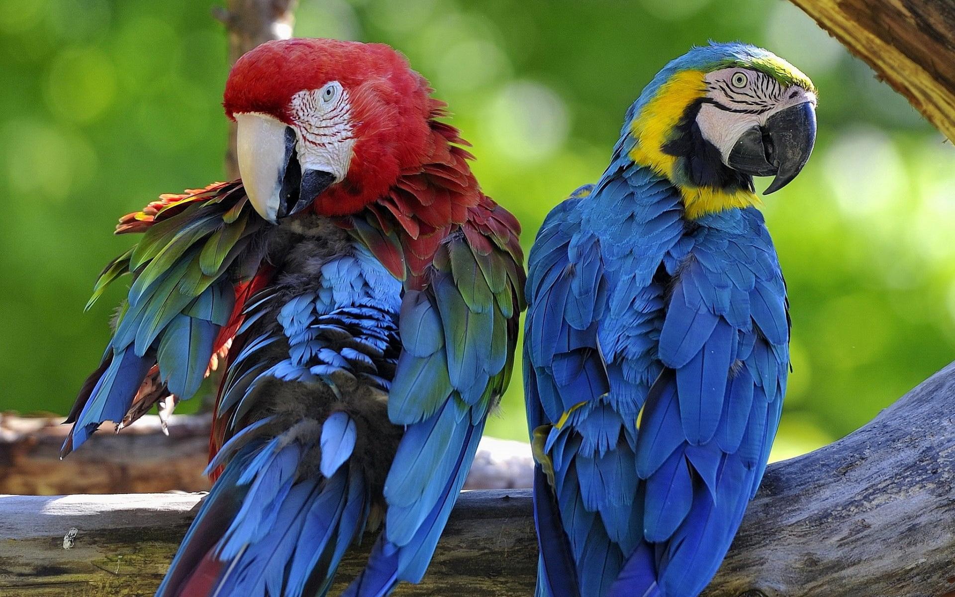 Красивые картинки с попугаями на рабочий стол