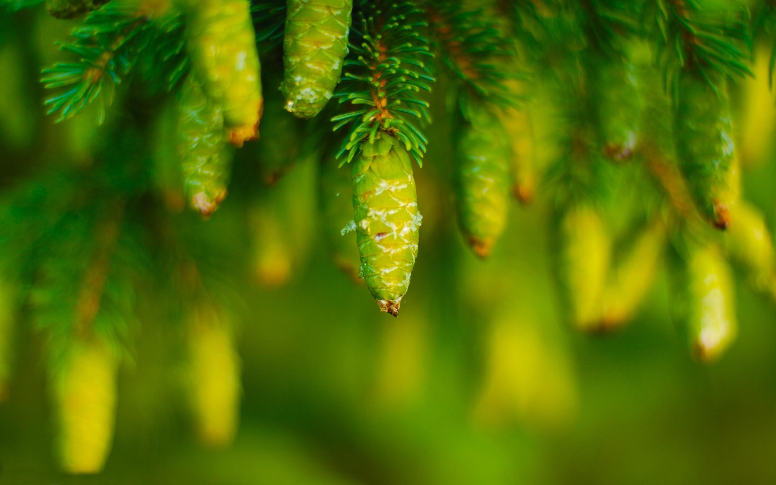Капли сосна дерево бесплатно