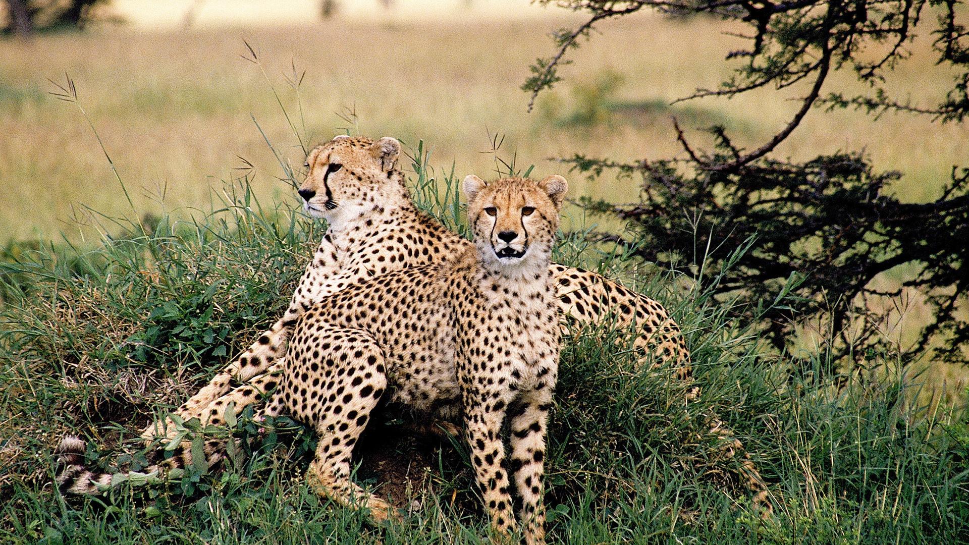природа животные гепарды бесплатно