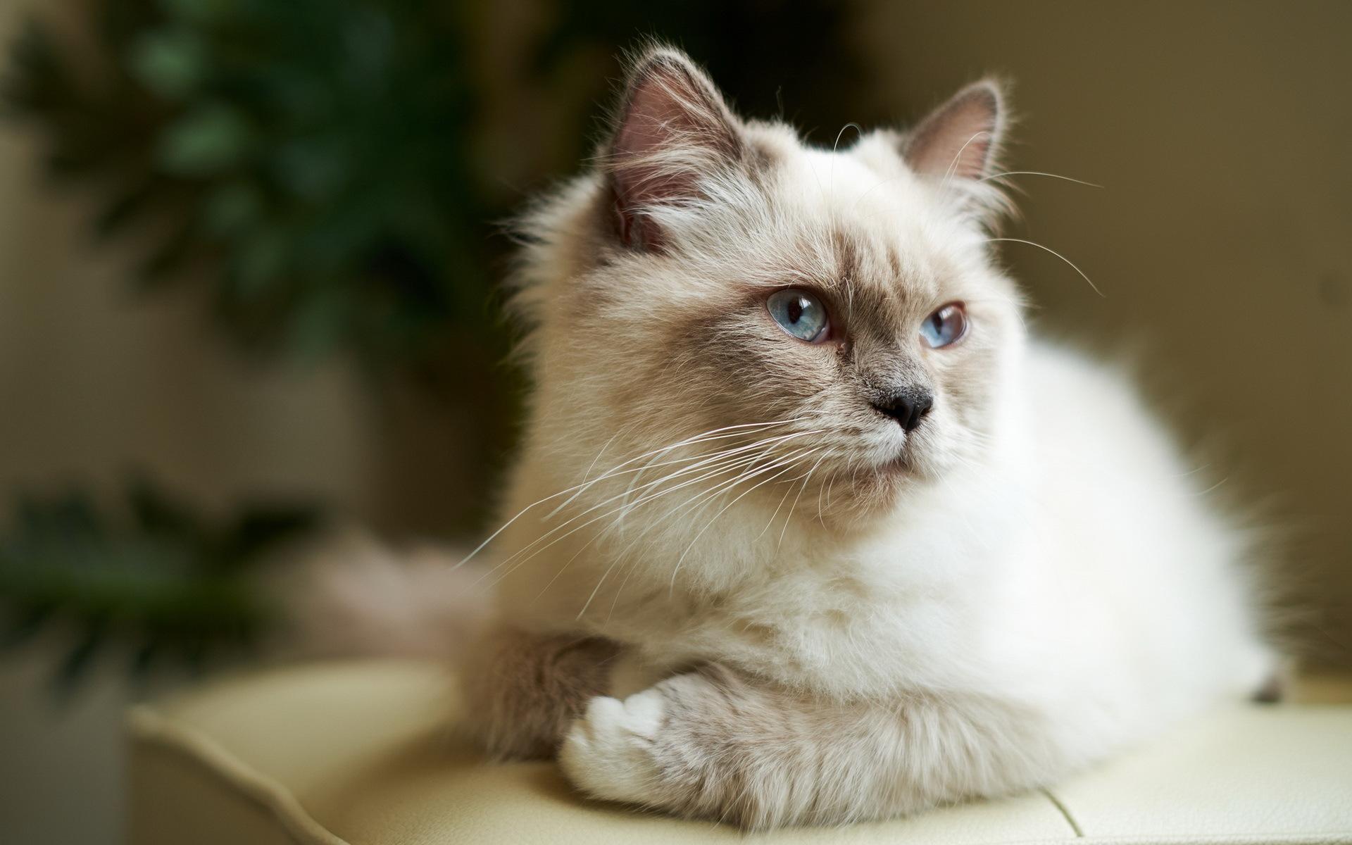 Открытка женщине, картинки красивые кошки пушистые