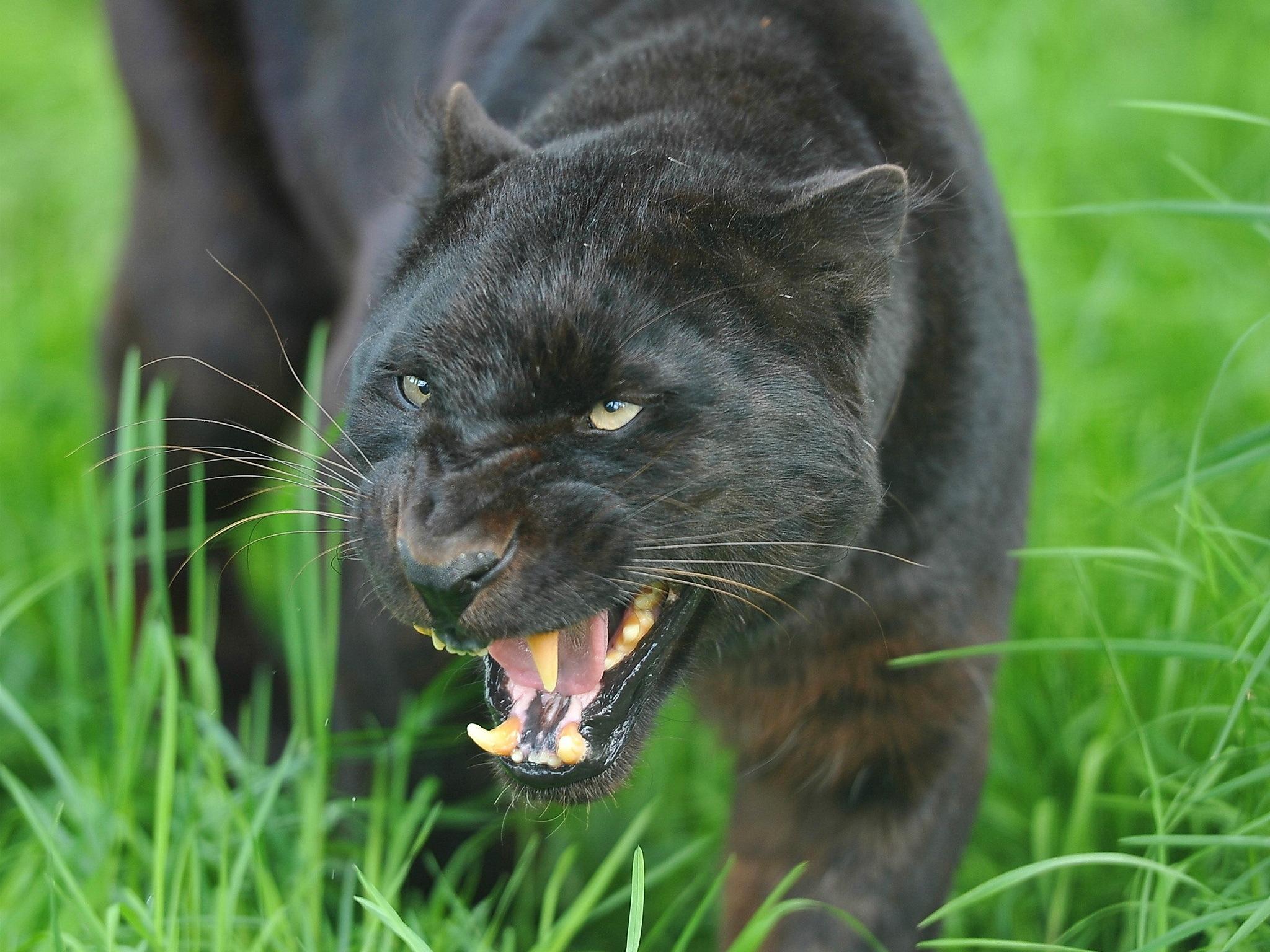 котенок злой рык без смс