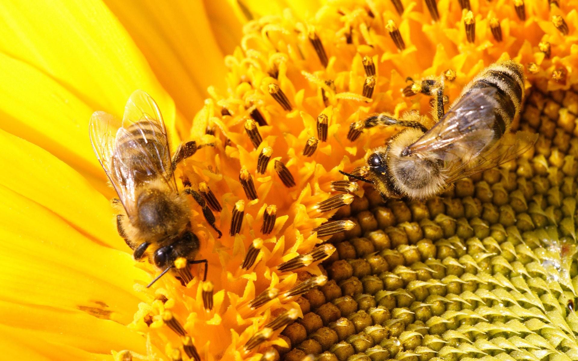 лебединым картинки пасека пчелы в поле подсолнухов древнеславянской