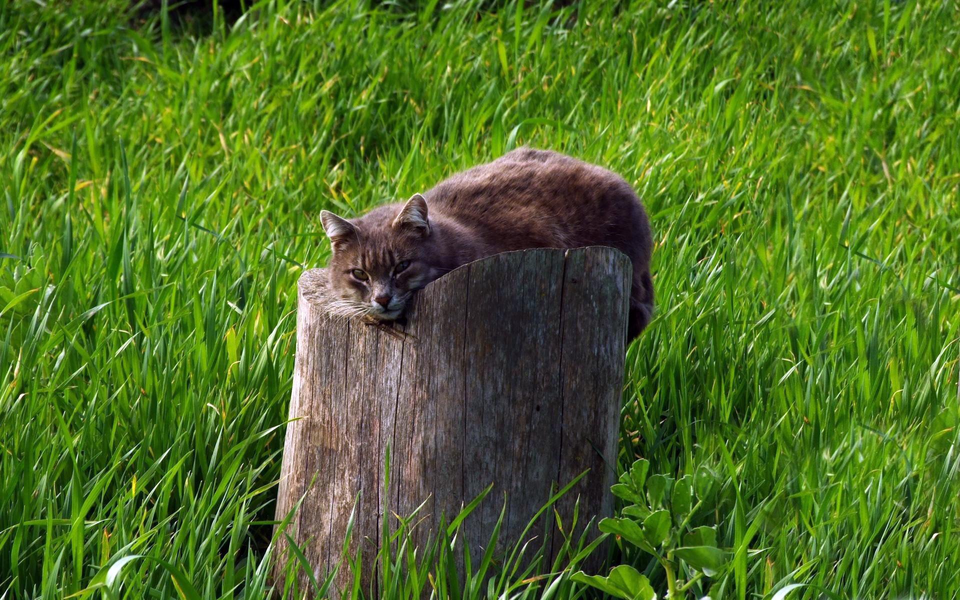Дымчатый кот в траве  № 252557 без смс