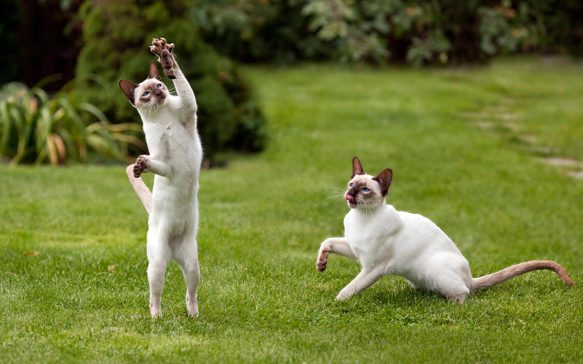 Кот сиамский кот цветы лужайка бесплатно