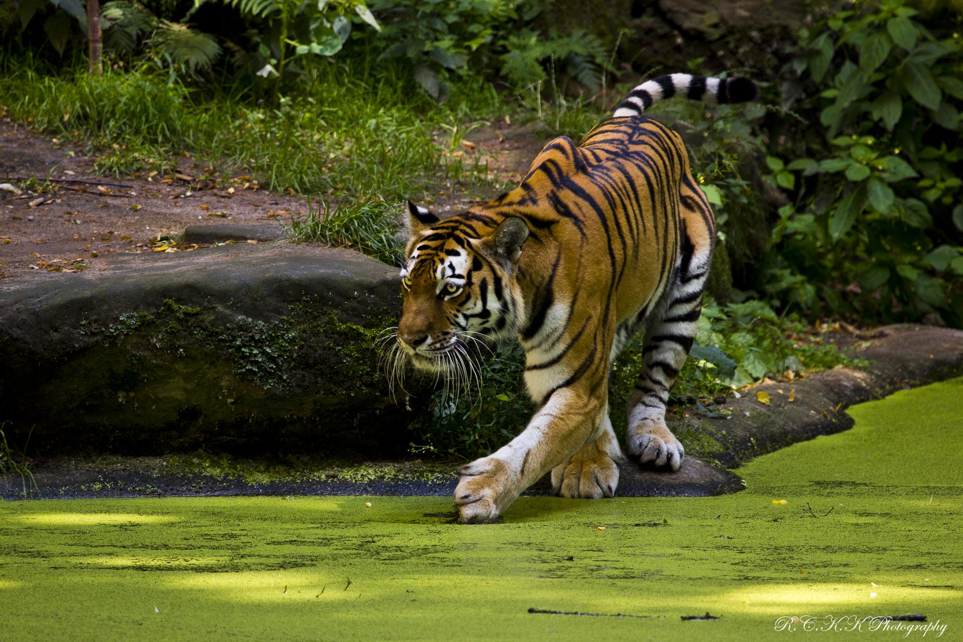 природа животные тигры  № 99191 без смс