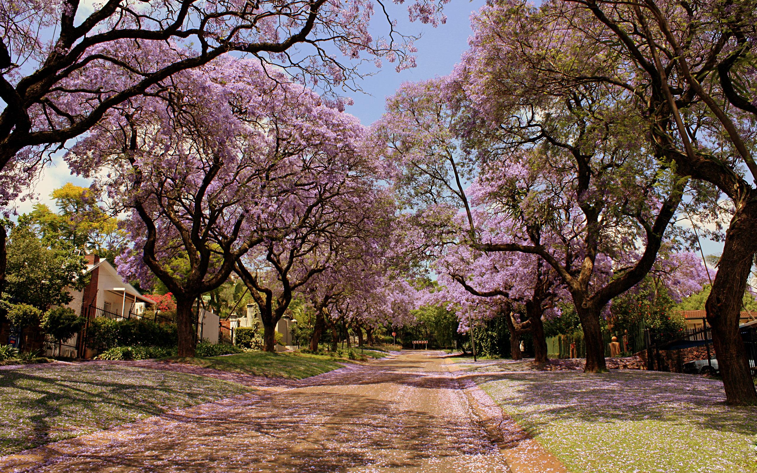 цветущие деревья во дворе  № 532024 бесплатно