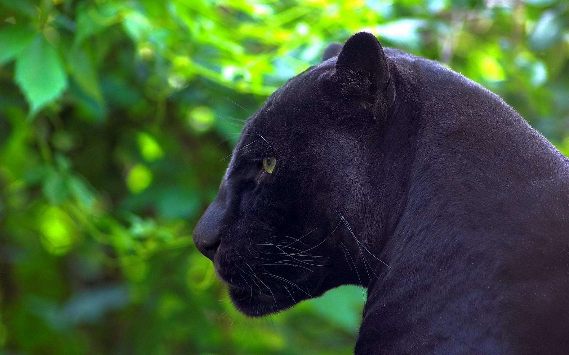 Картинка черная пантера