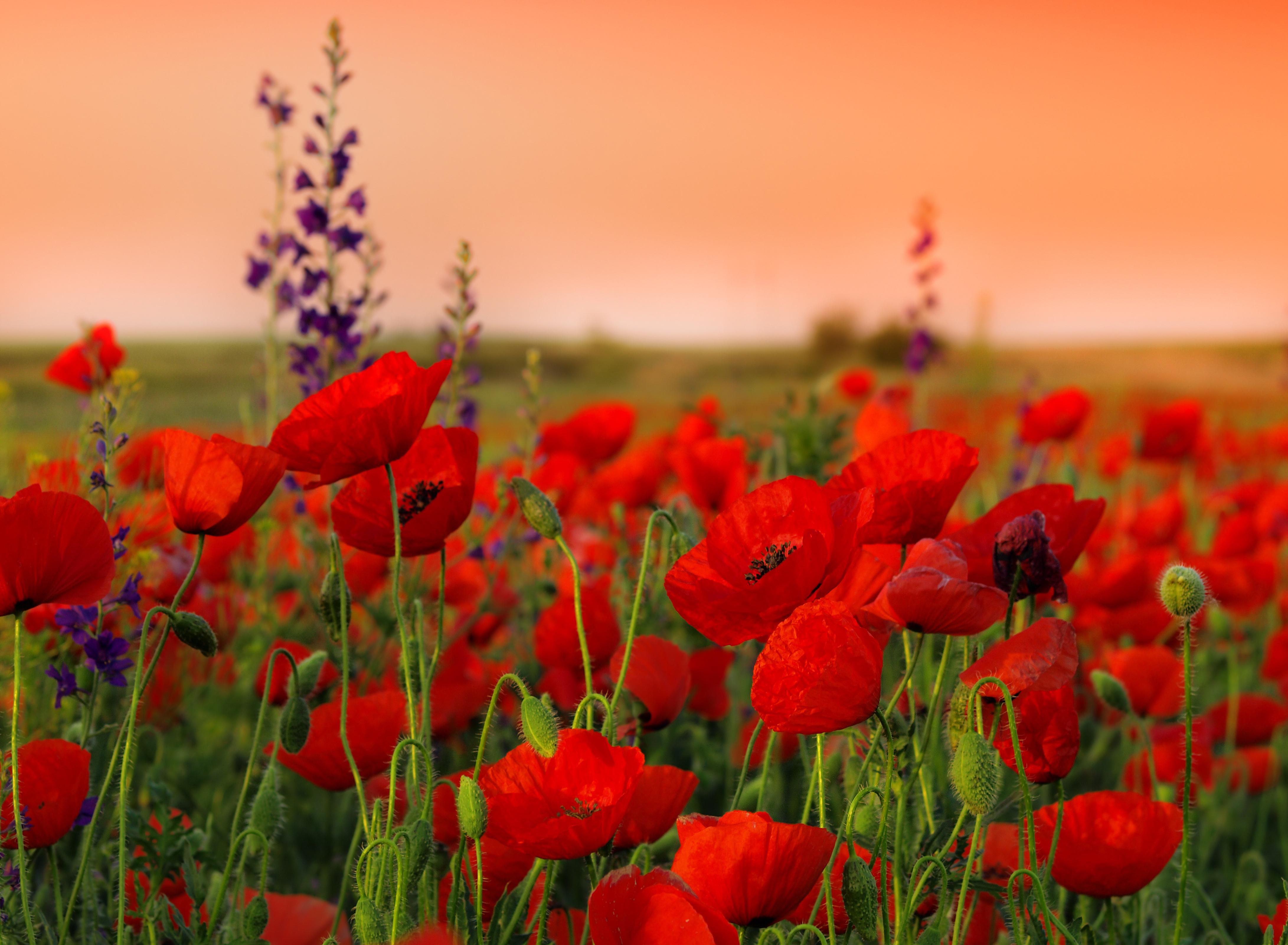 Поздравительные, открытка цветов с маком