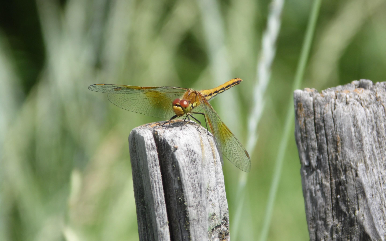 природа макро животные насекомое стрекоза  № 2748058  скачать