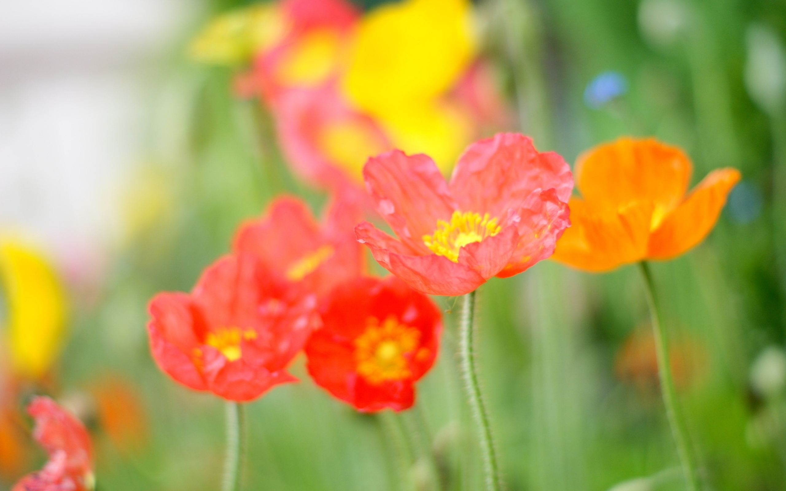 цветы, разноцветие, зелень без смс