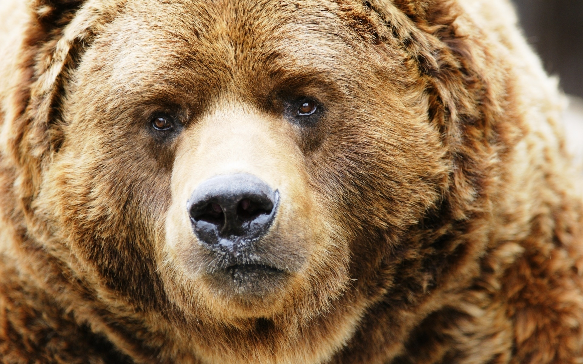 Canadian brown bear