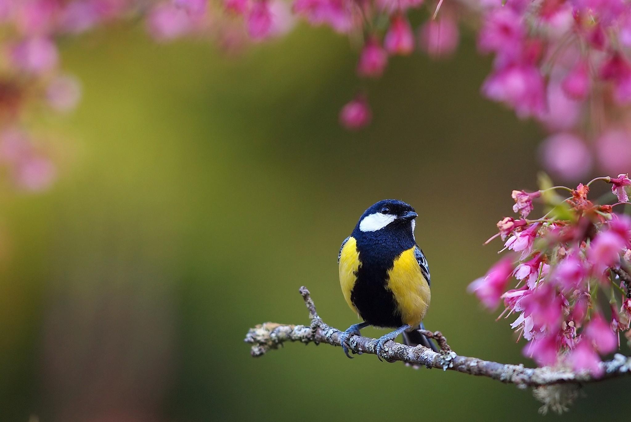 Обои для рабочего стола весна птички