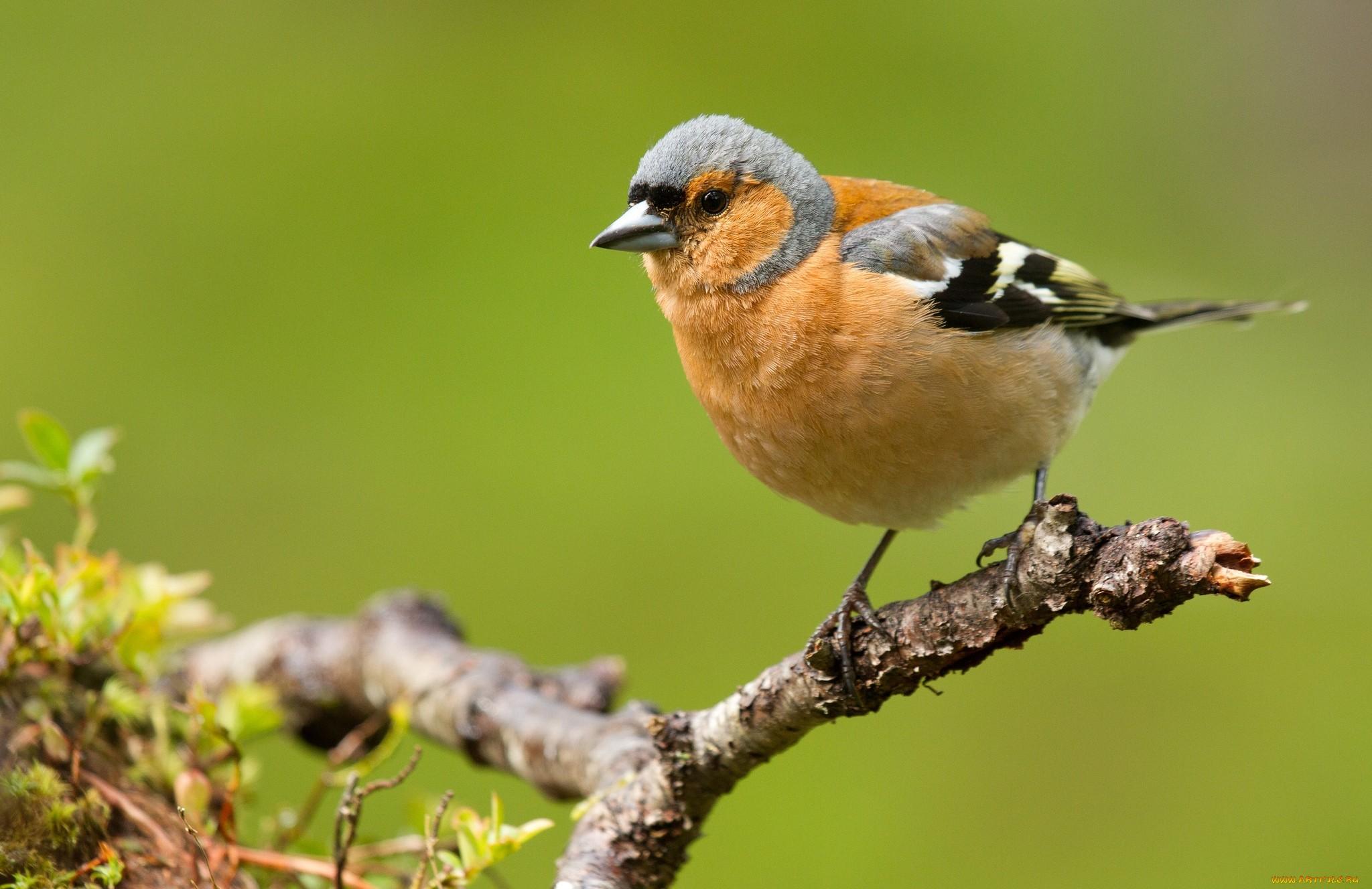 хотите восстановить зяблик фото птица тебе кажется