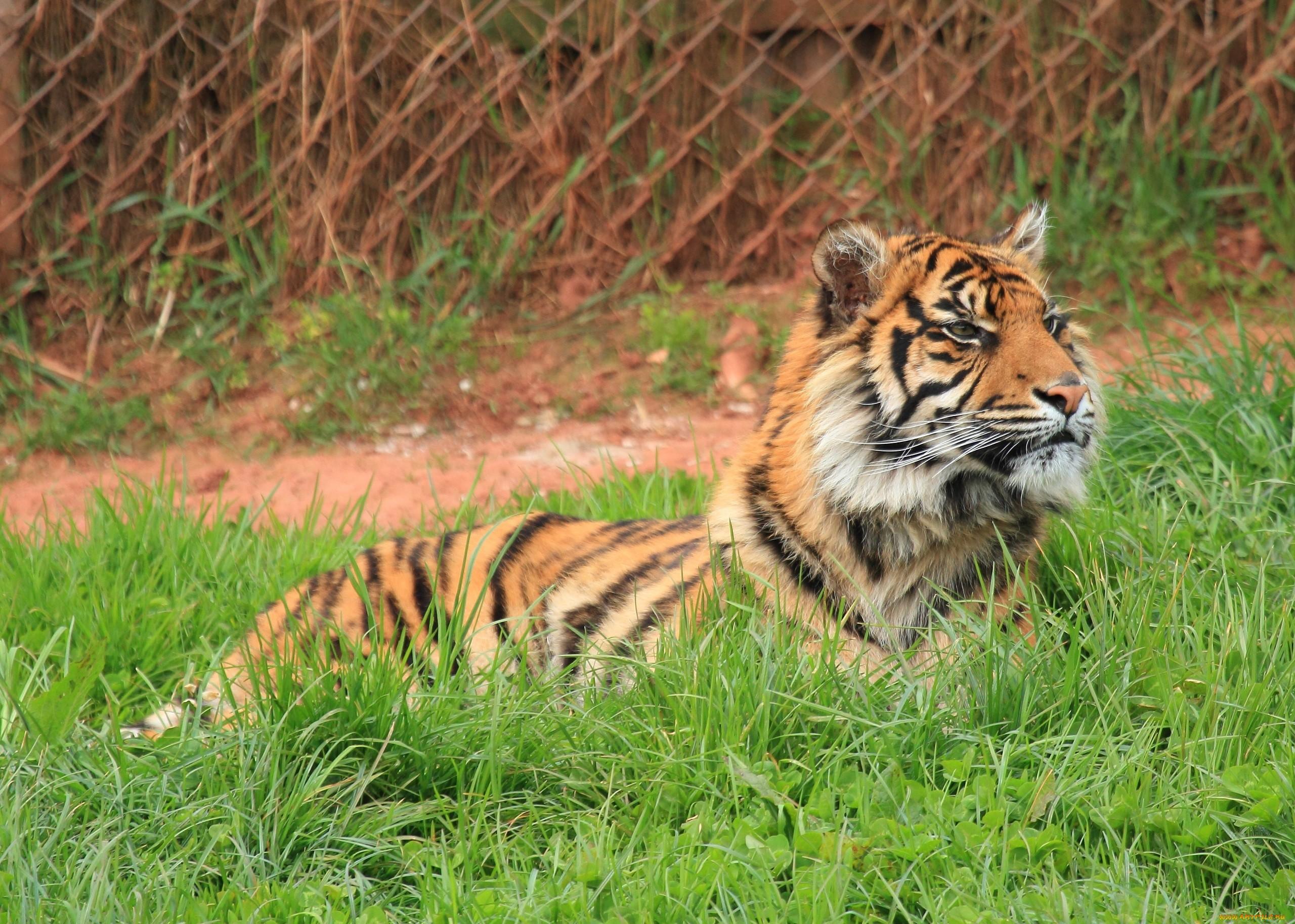 Тигр лежа в траве бесплатно
