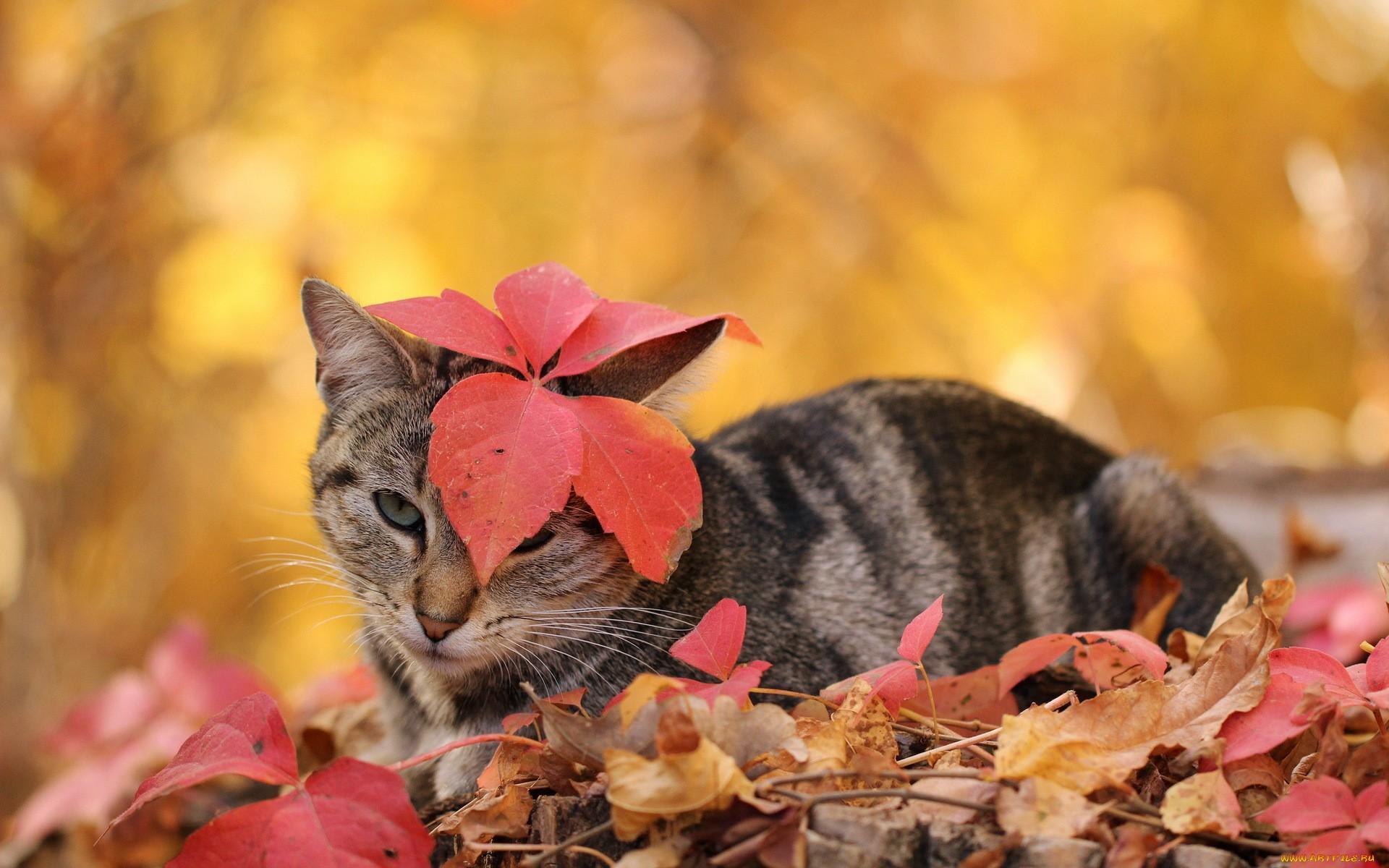 кошка осень листва  № 3898451  скачать