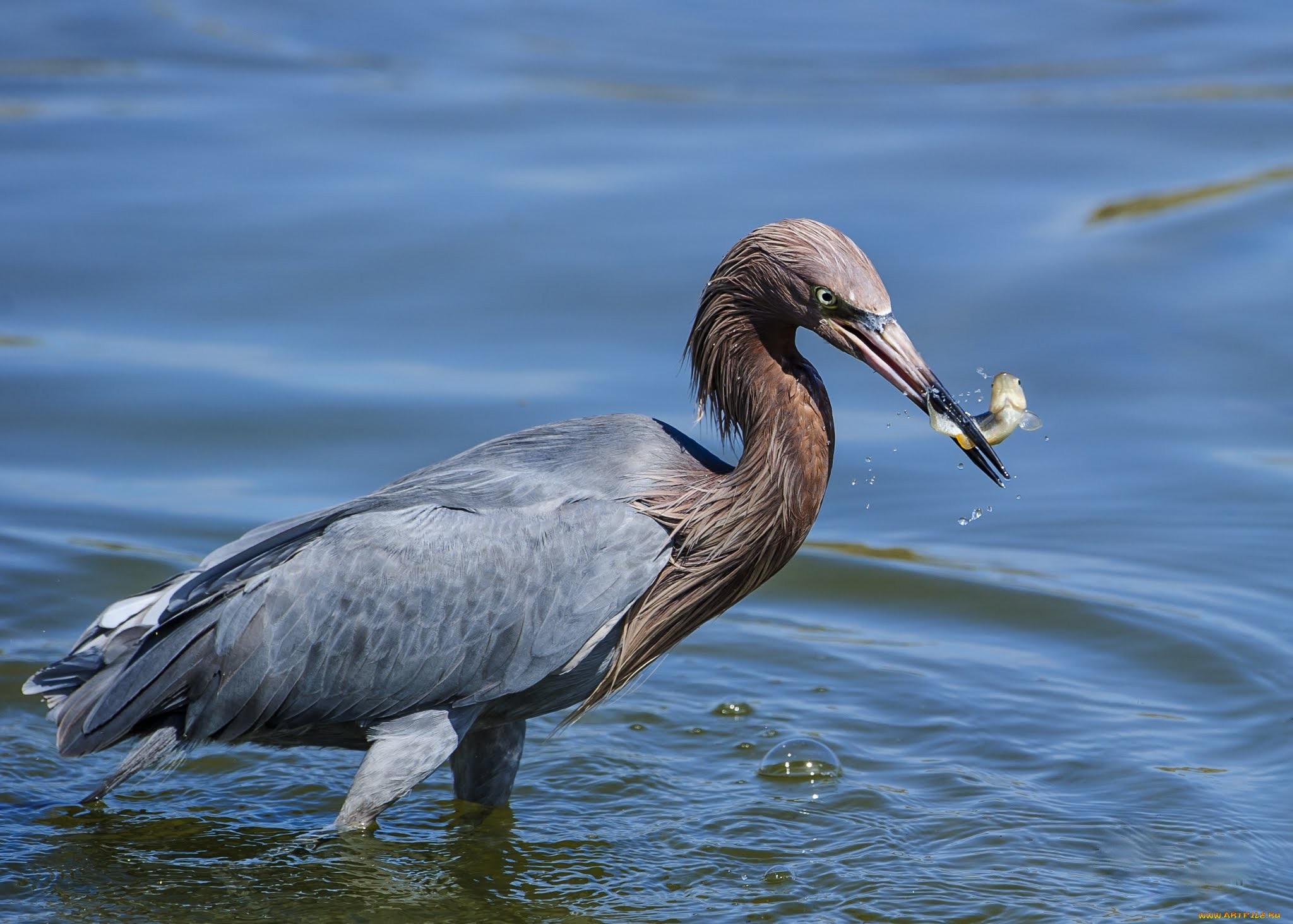 Водяная птица картинки