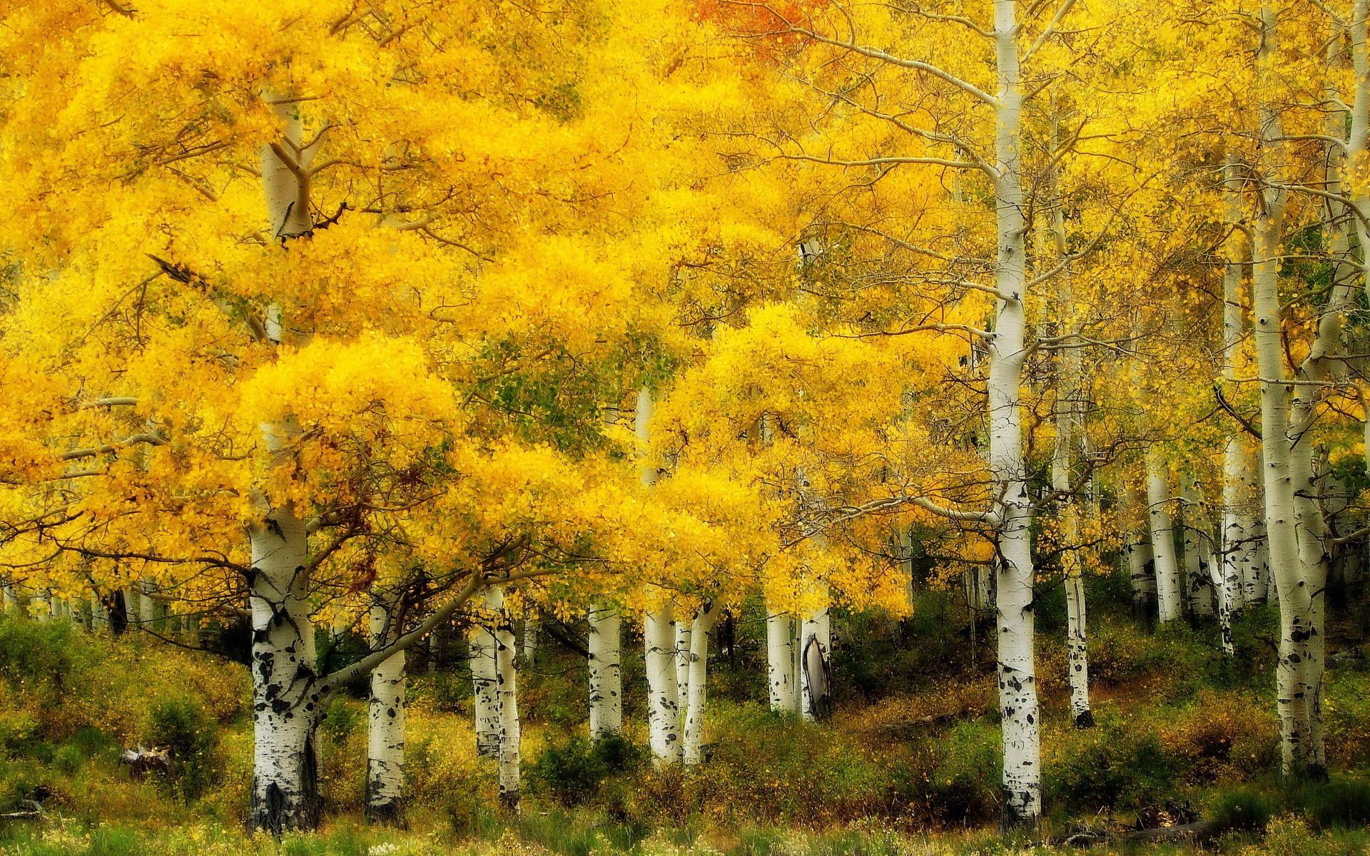 Желтая береза фото