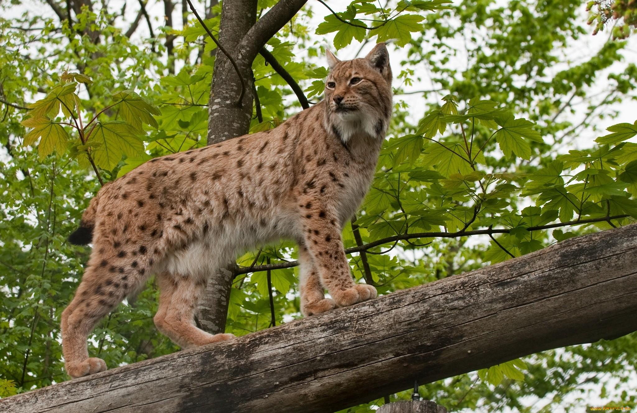 природа животные ветка деревья рысь nature animals branch trees lynx  № 560005  скачать