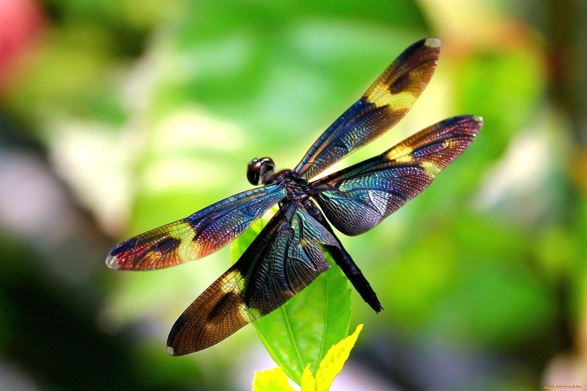 природа макро животные насекомое стрекоза  № 2748086 загрузить