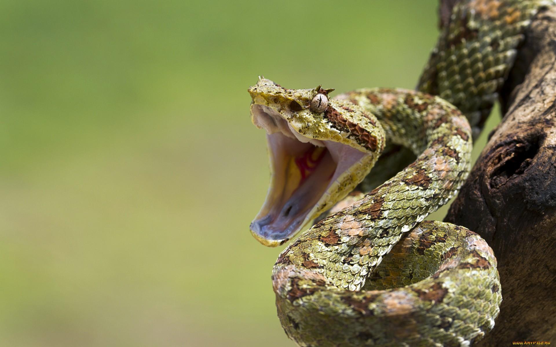змея белая язык животное бесплатно